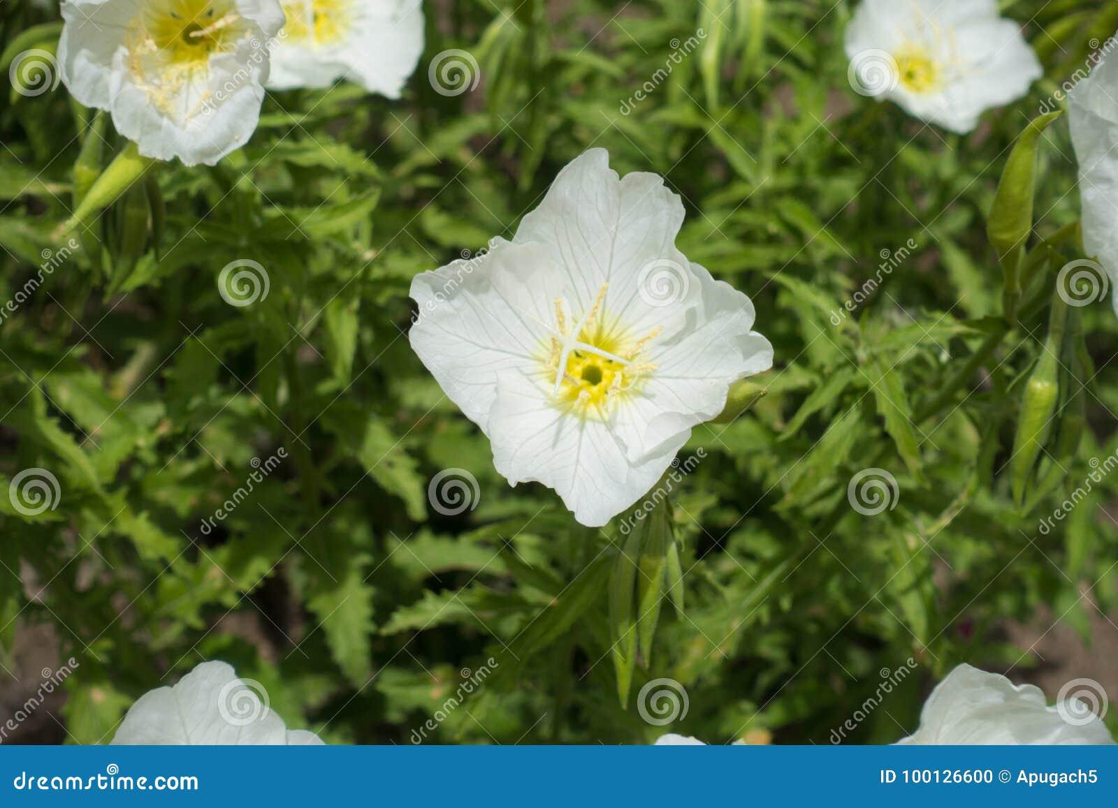 Zbliżenie biały kwiat Oenothera speciosa