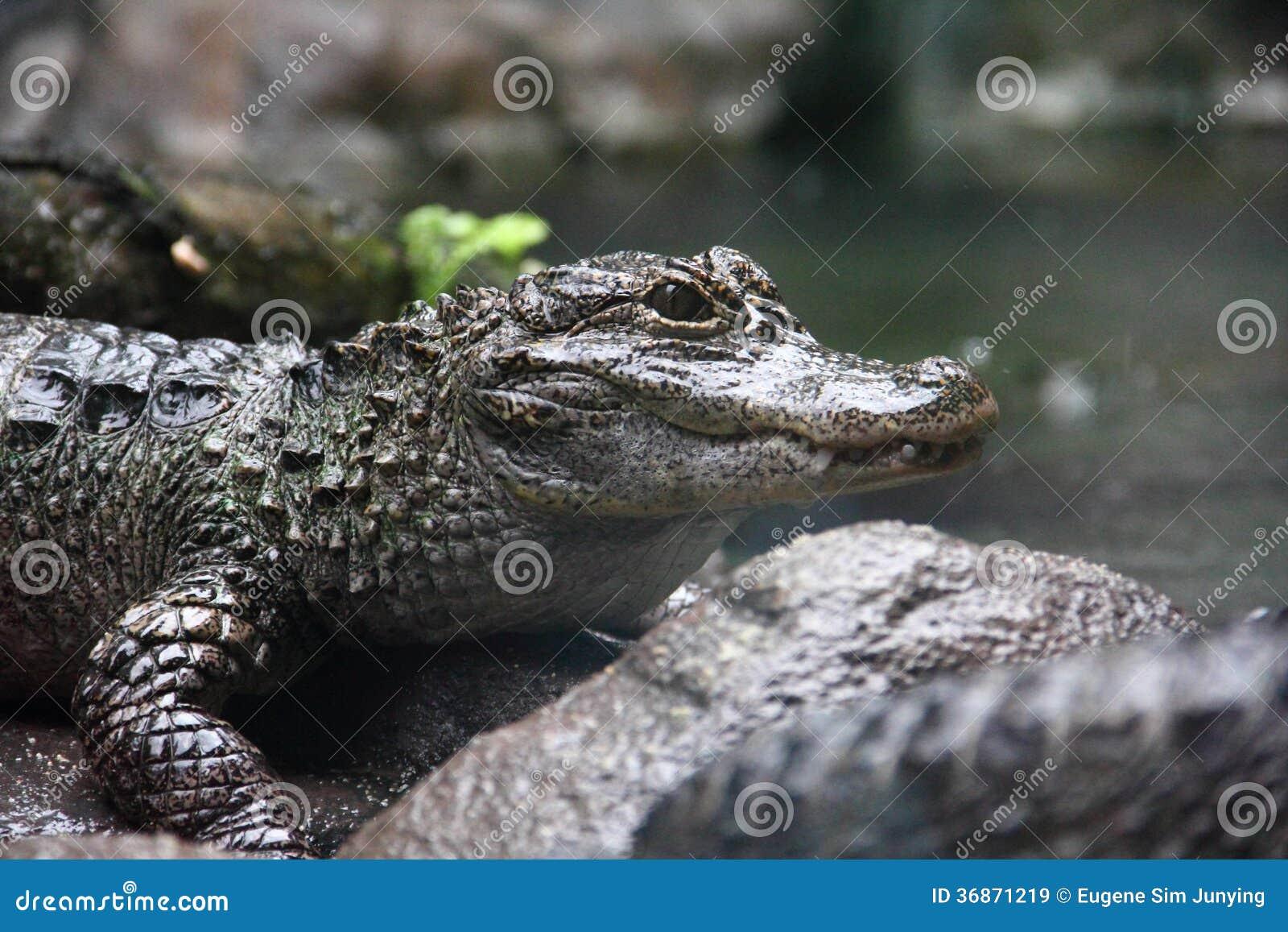 Zbliżenie boczny widok Yangtze aligator