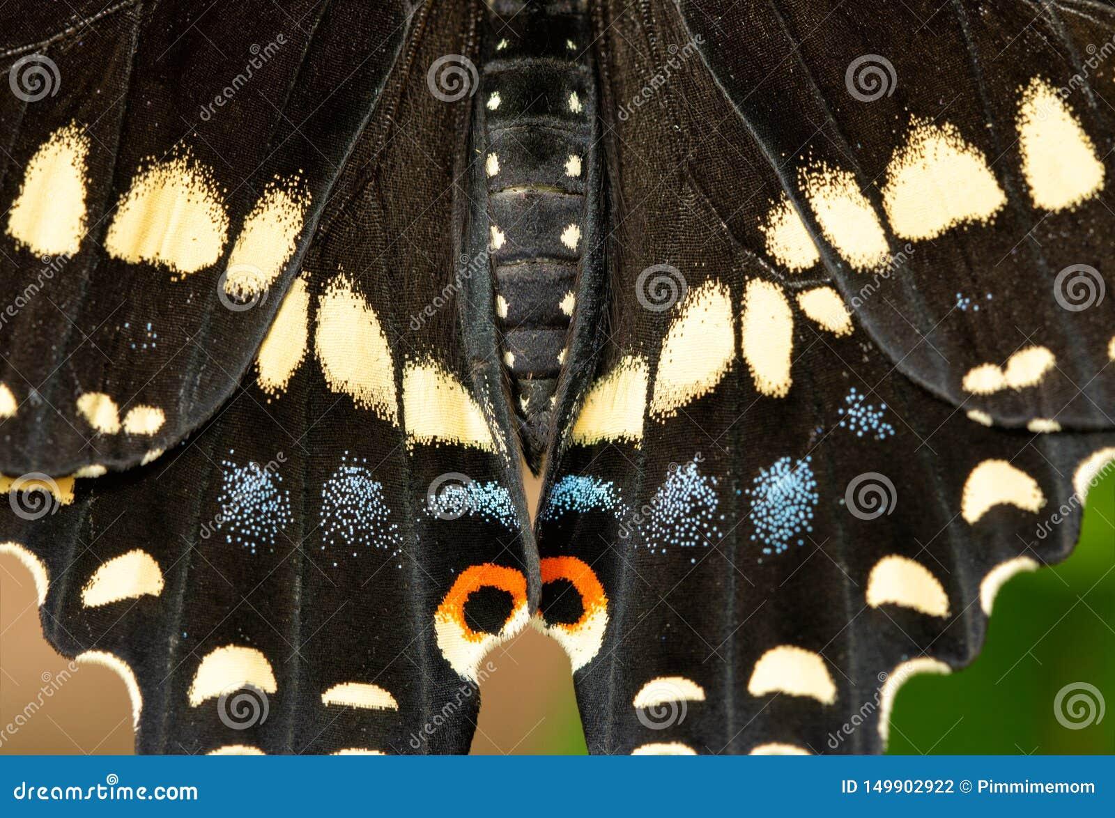 Zbliżenie Czarnego Swallowtail motyla skrzydła