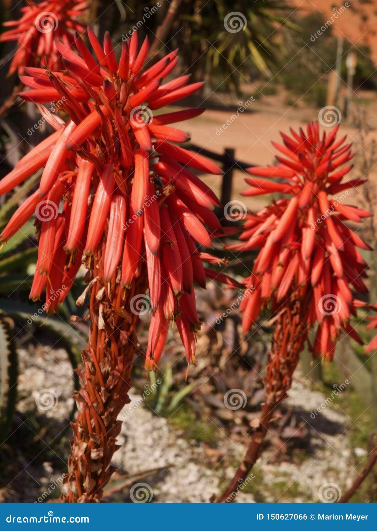 Zbliżenie czerwony Kwitnący agawa kaktus