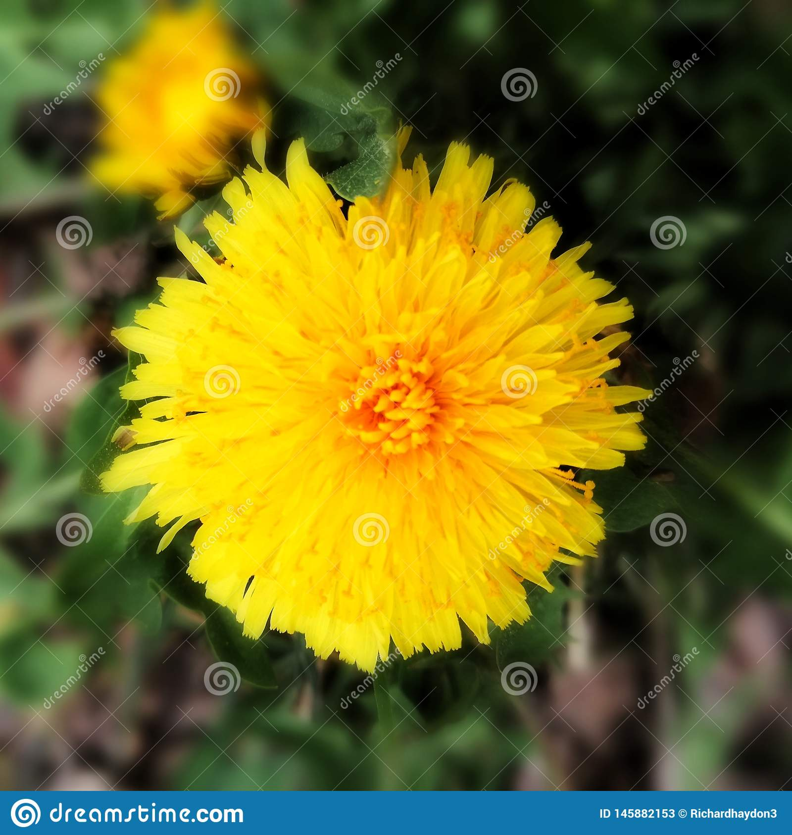 Zbliżenie dandelion kwitnąć