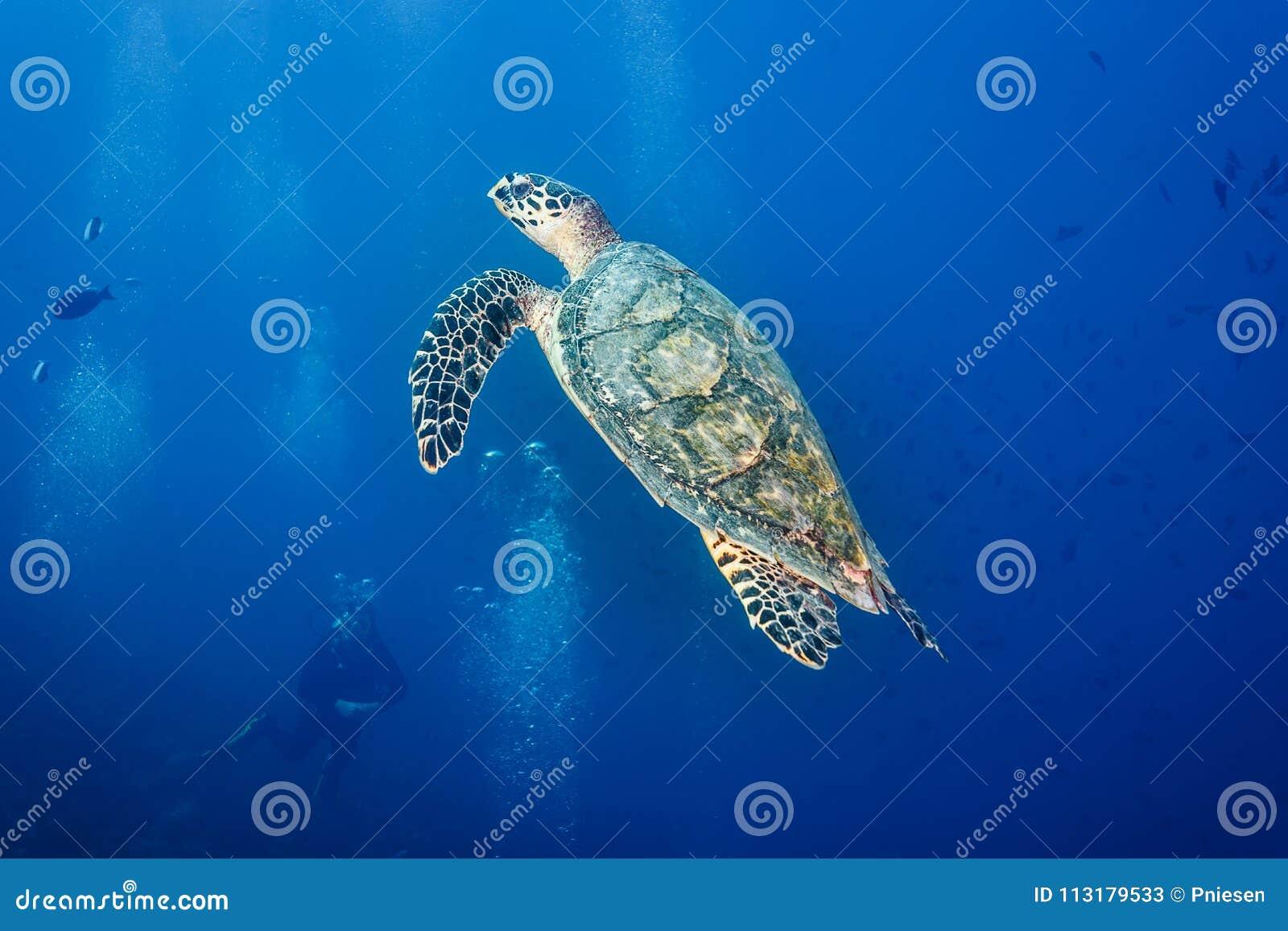 Zbliżenie jako akwalungu nurek ogląda hawksbill żółwia dopłynięcie w błękitnym oceanie
