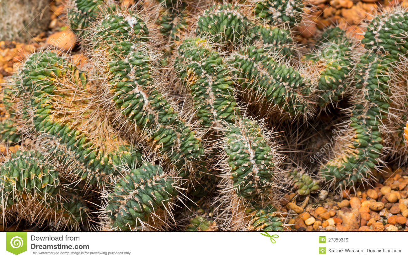 Zbliżenie kaktusowy Strzał