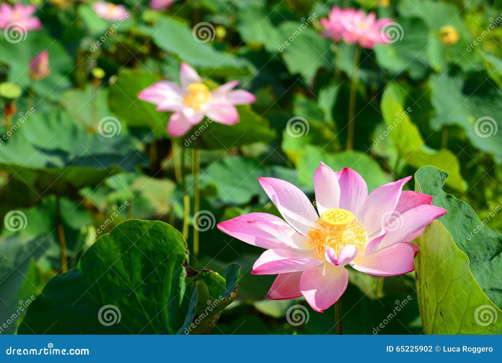 Zbliżenie Lotosowych kwiatów pole Długi Xuyen Wietnam