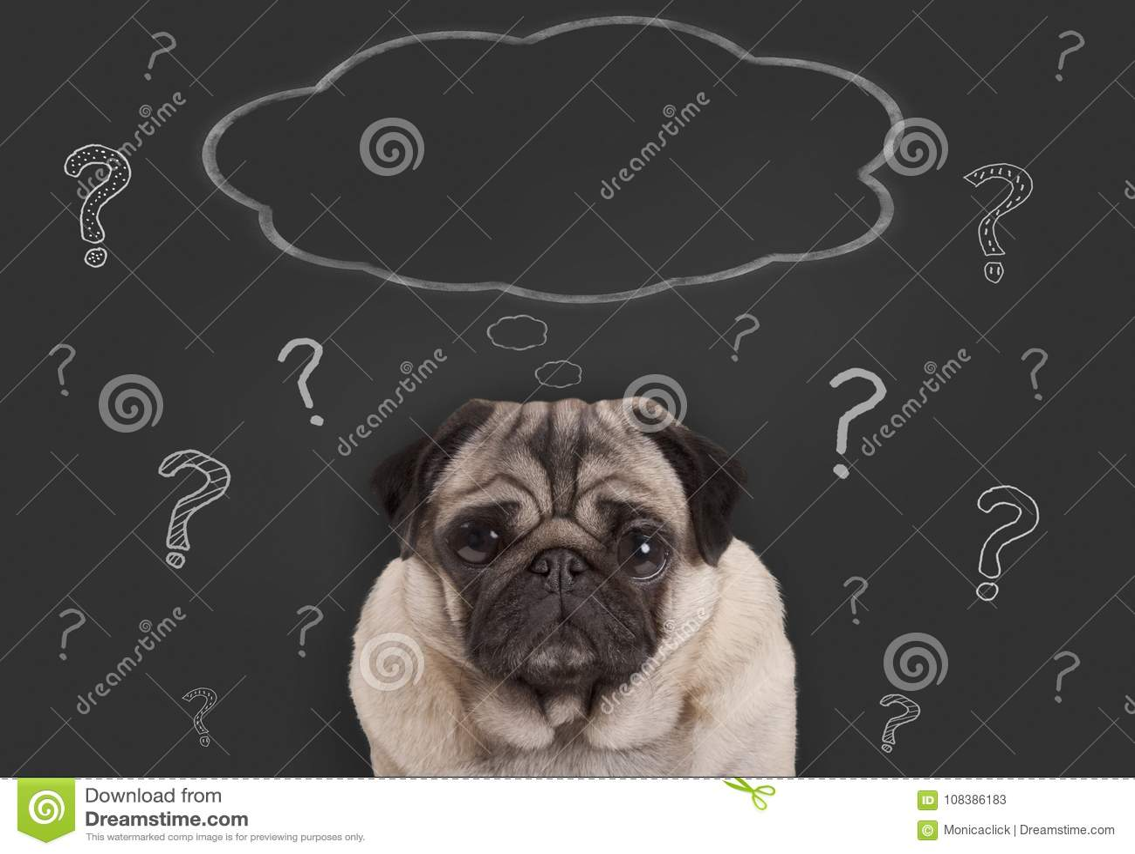 Zbliżenie mopsa szczeniaka psa obsiadanie przed blackboard znakiem z znakami zapytania i puste miejsce myślą gulgocze
