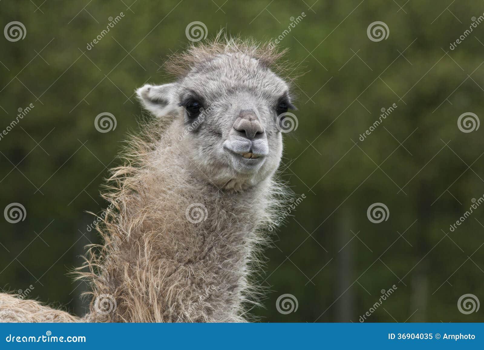 Zbliżenie na Lama