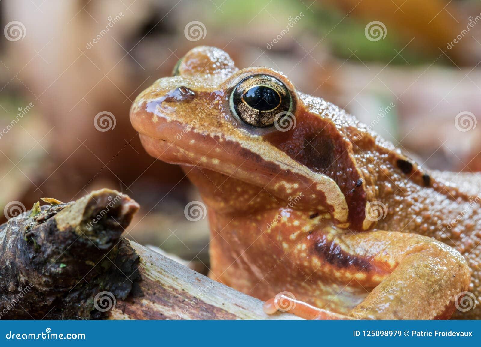 Zbliżenie obrotna żaba kierownicza tylko - rana dalmatina -