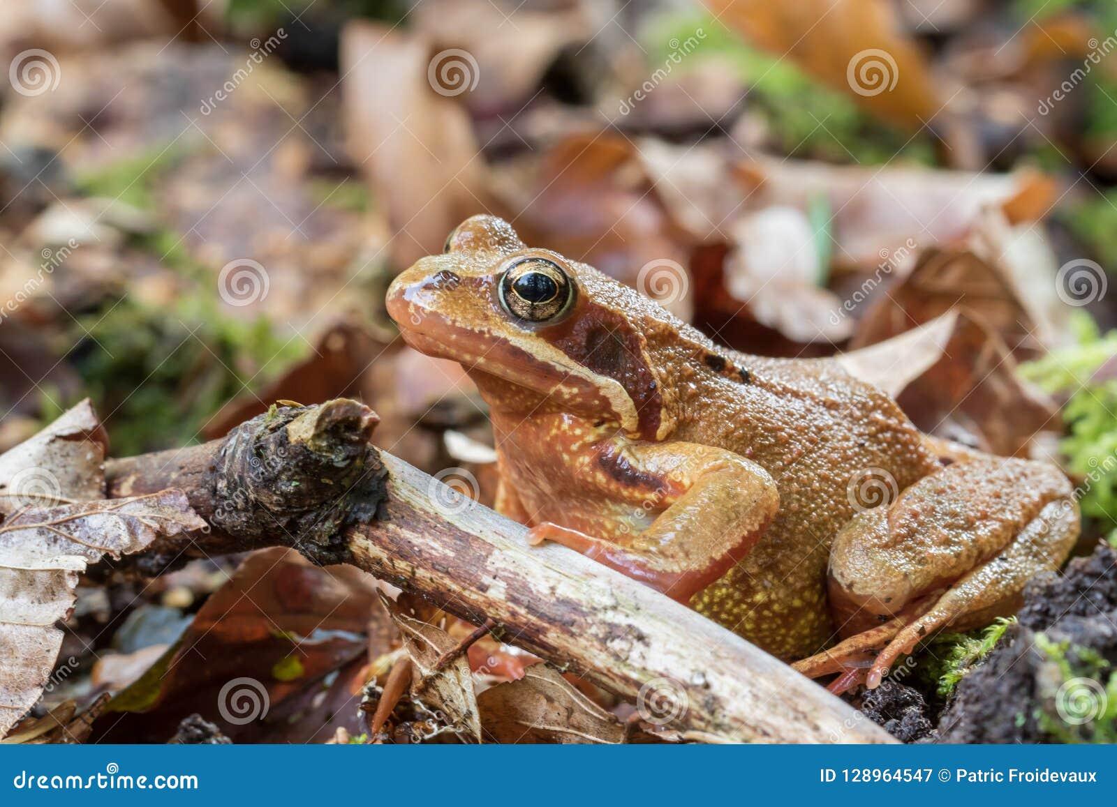 Zbliżenie obrotna żaba - rana dalmatina