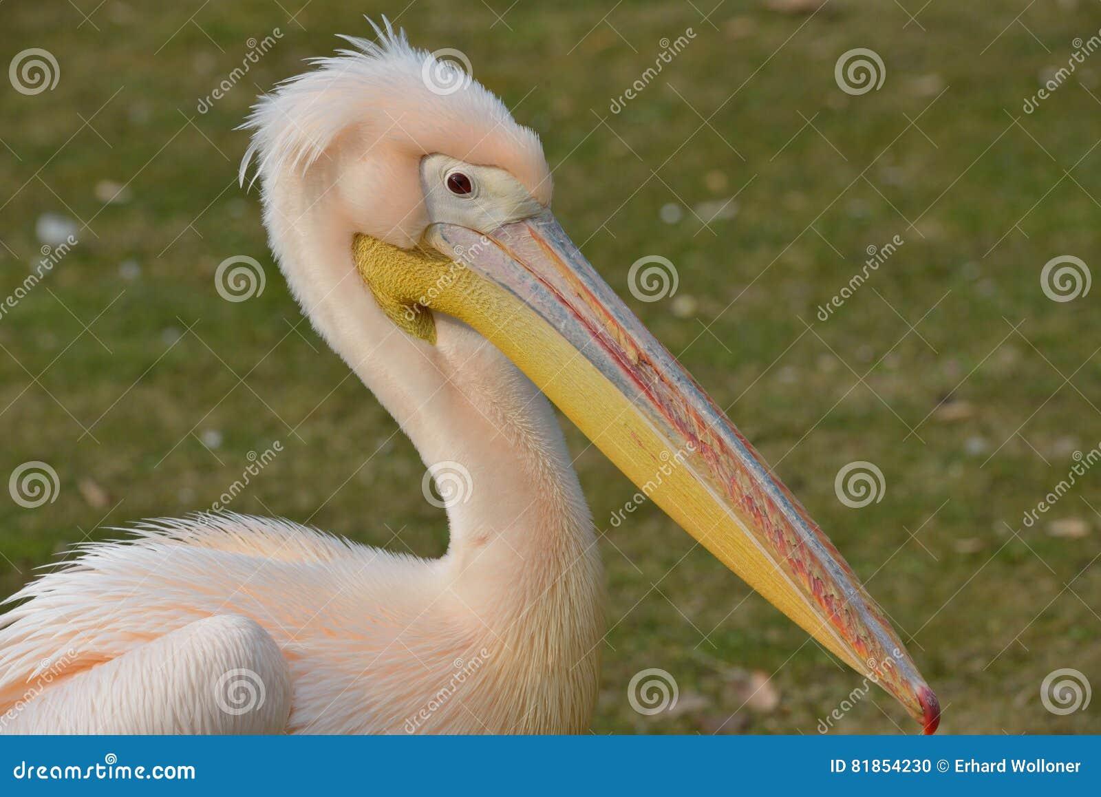 Zbliżenie pelikan