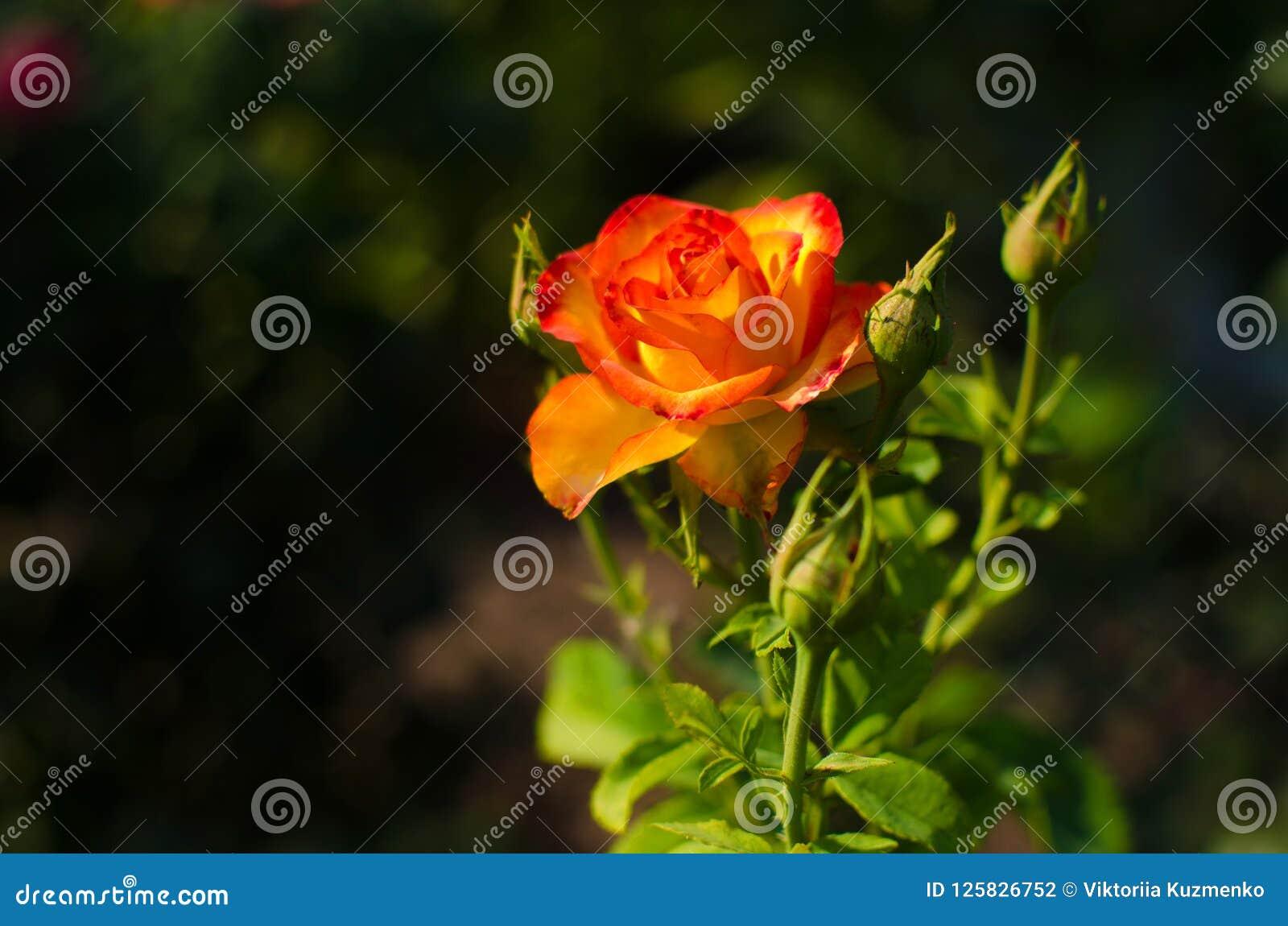 Zbliżenie piękny wzrastał z jaskrawymi płatkami i jasnozielonymi liśćmi żółtymi i czerwonymi
