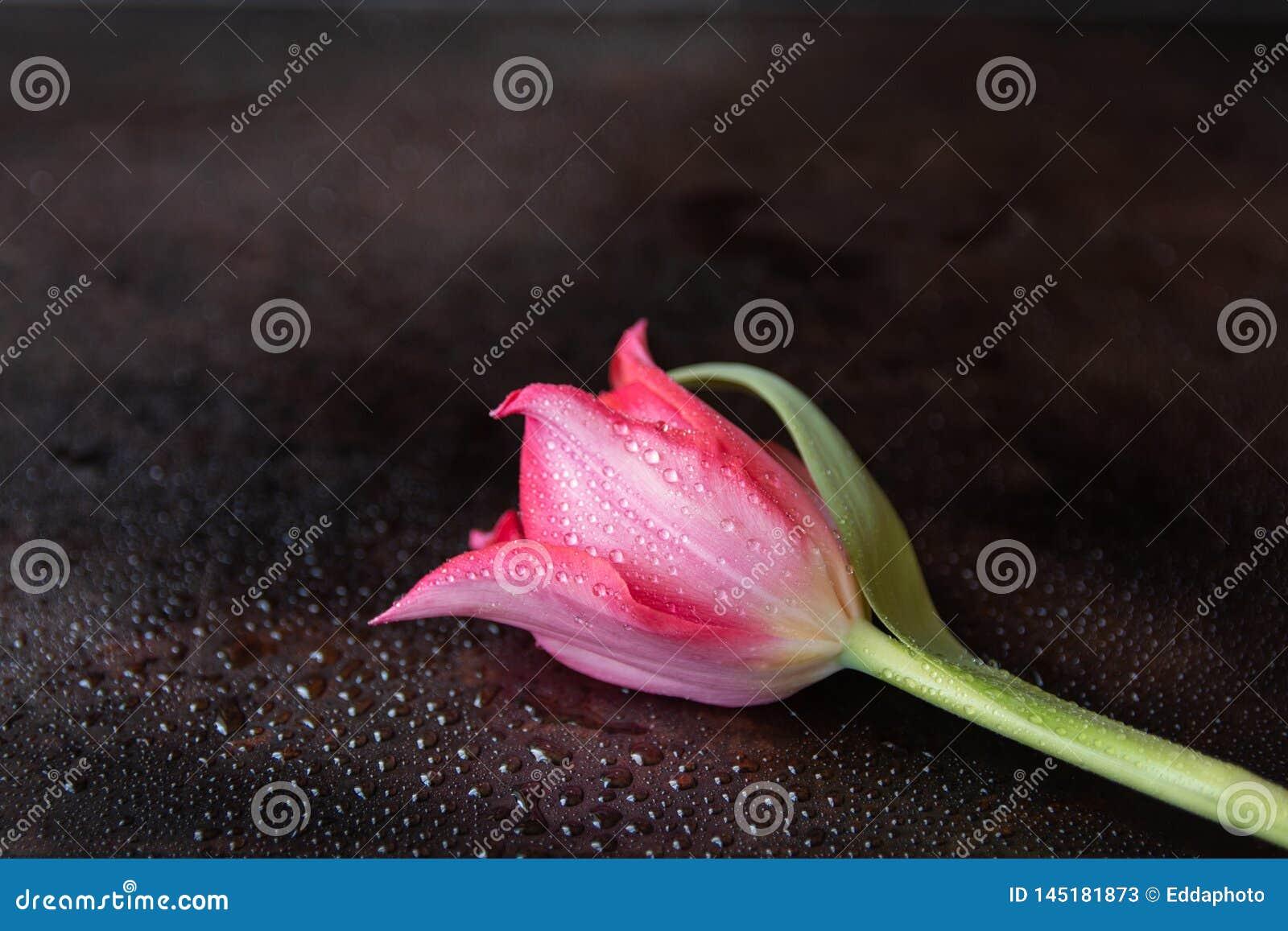 Zbliżenie pojedynczy czerwony tulipan na ciemnym tle