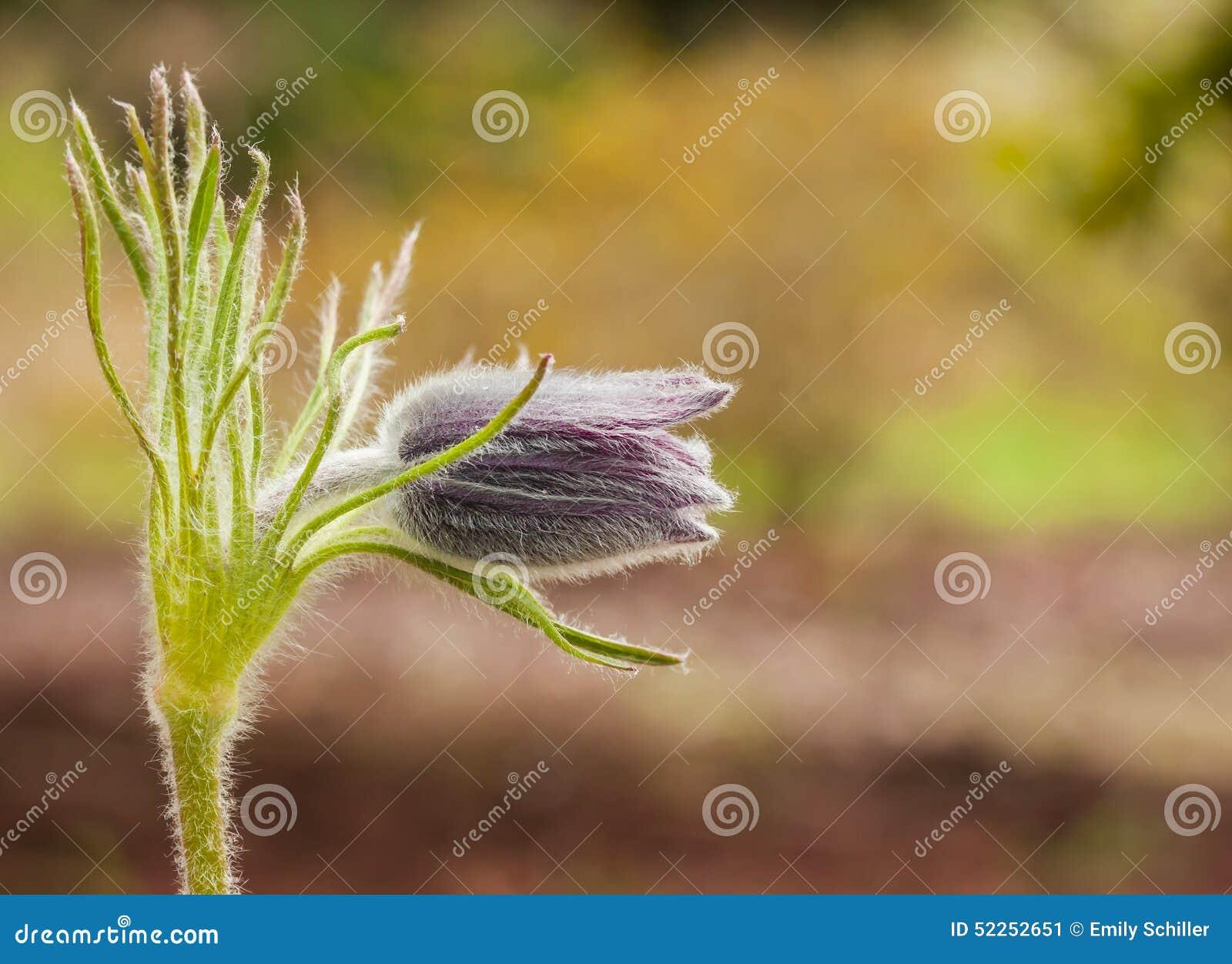 Zbliżenie profil Pojedynczy Pasque kwiat