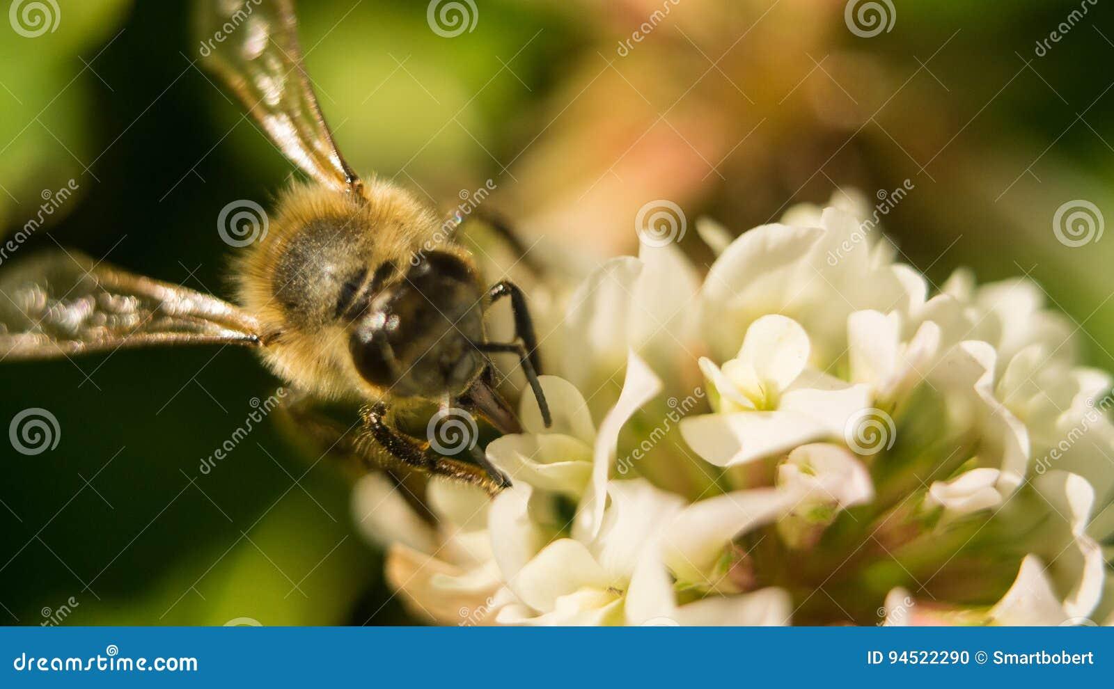 Zbliżenie pszczoła przy pracą na białej koniczyny kwiatu pollen A cztery zbierackich liściach koniczynowych