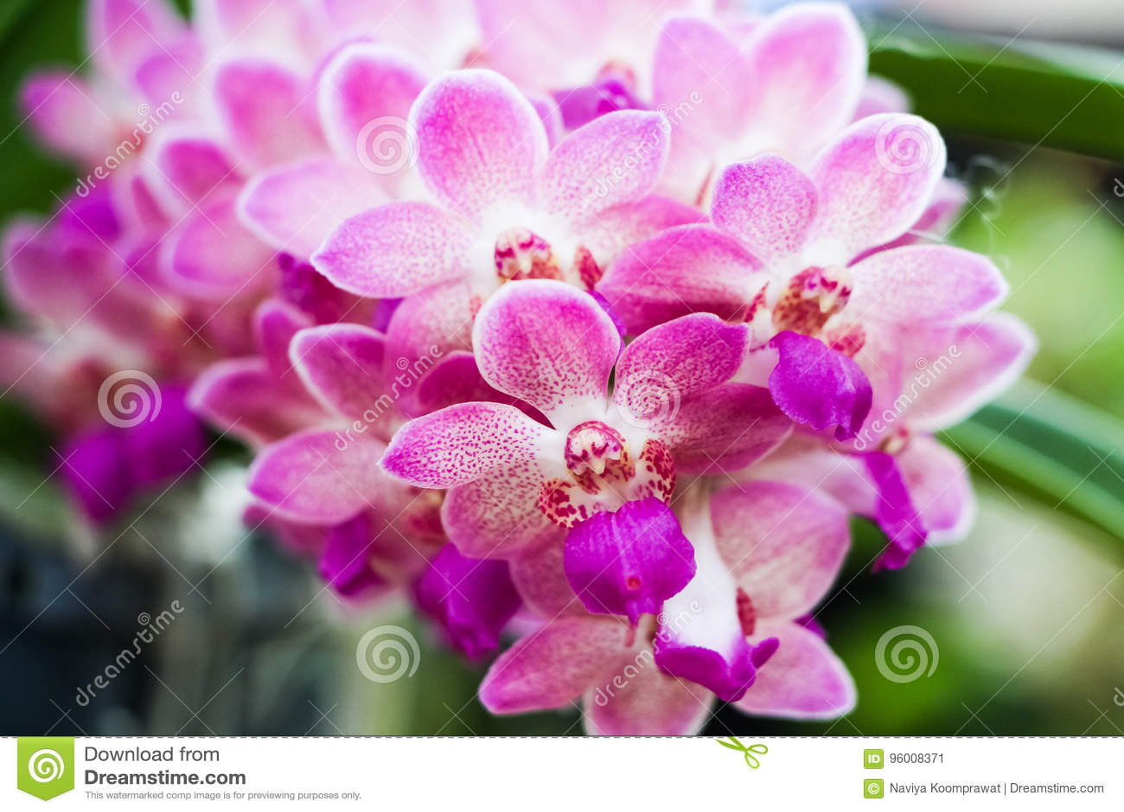 Zbliżenie purpurowa orchidea kwitnie w ogródzie