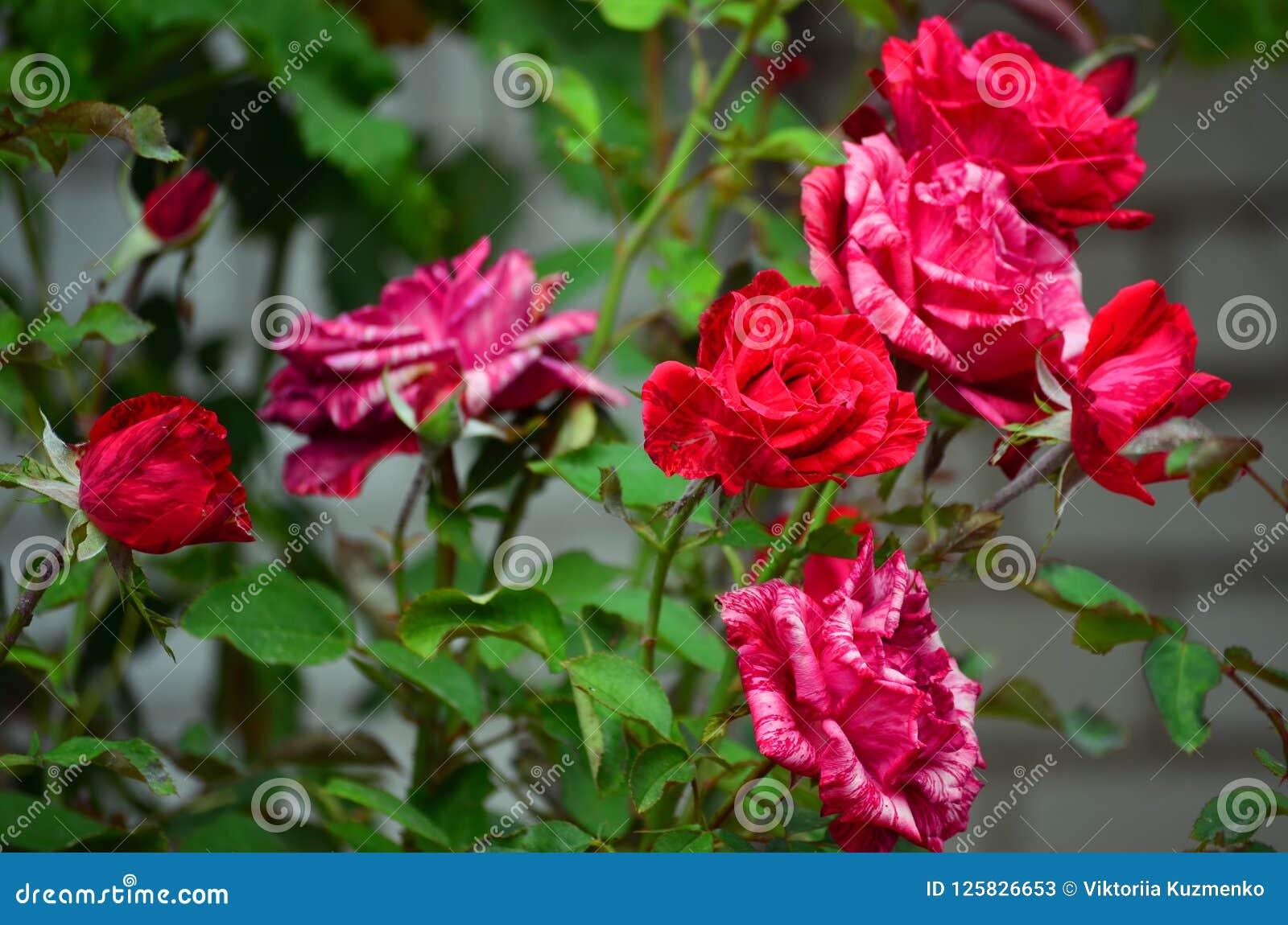 Zbliżenie róża krzak z pięknymi kwiatami z pasiastymi płatkami i zieleń liśćmi czerwonymi i białymi
