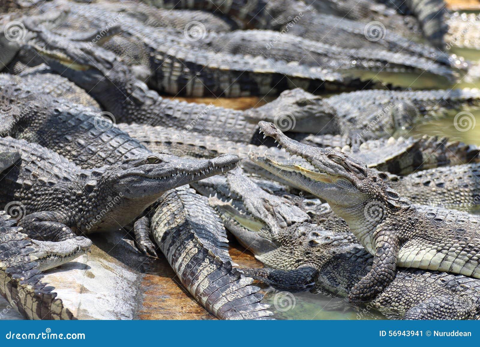 Zbliżenie rozdziały krokodyle