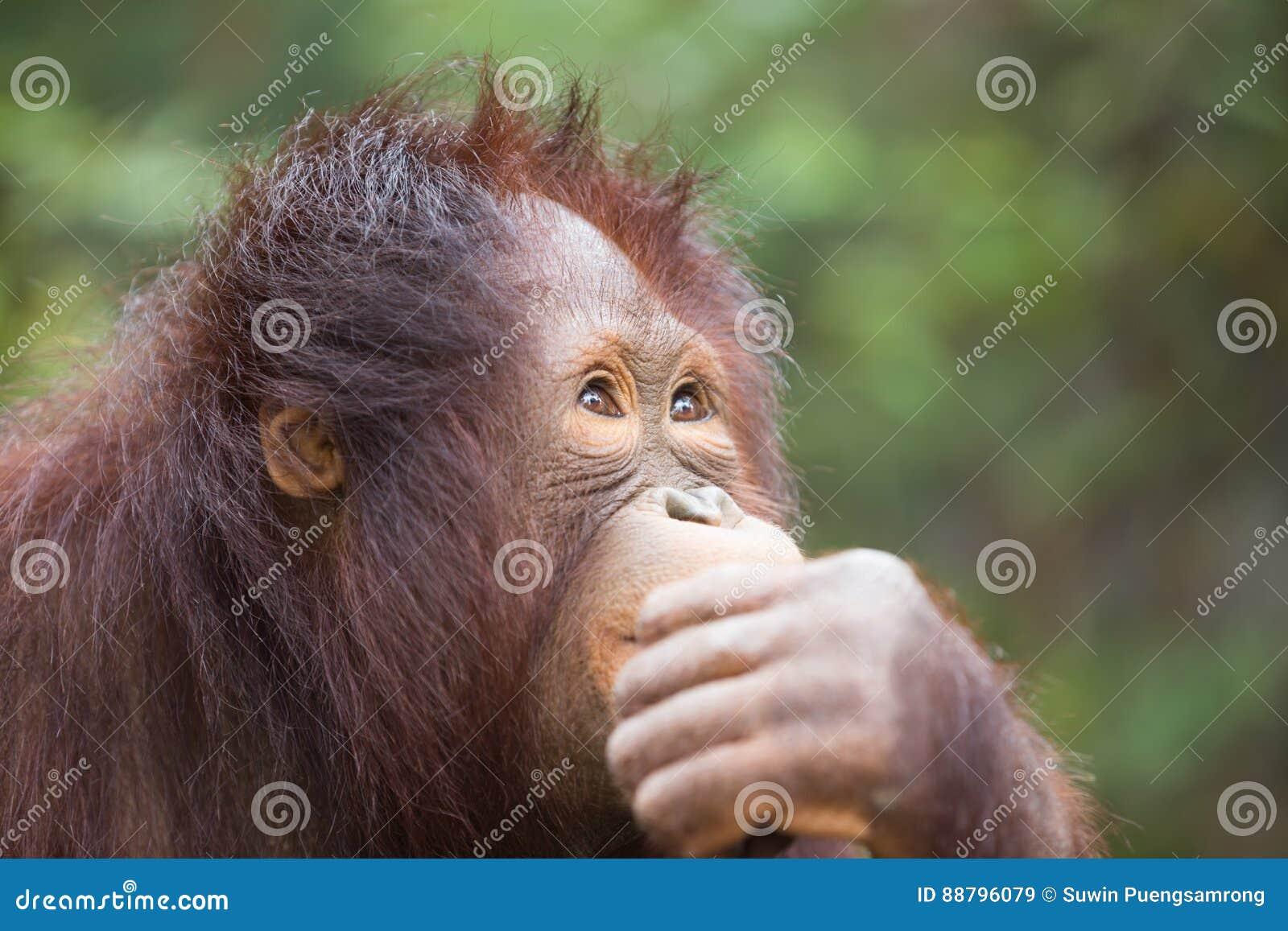Zbliżenie szympansa główkowanie, biznesowy pojęcie