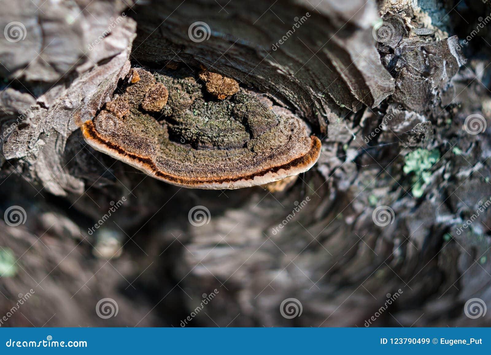 Zbliżenie trzonu gnicia Fomitopsis pinicola, czerwień paska Grzybowy conk na sosny barkentynie z lub