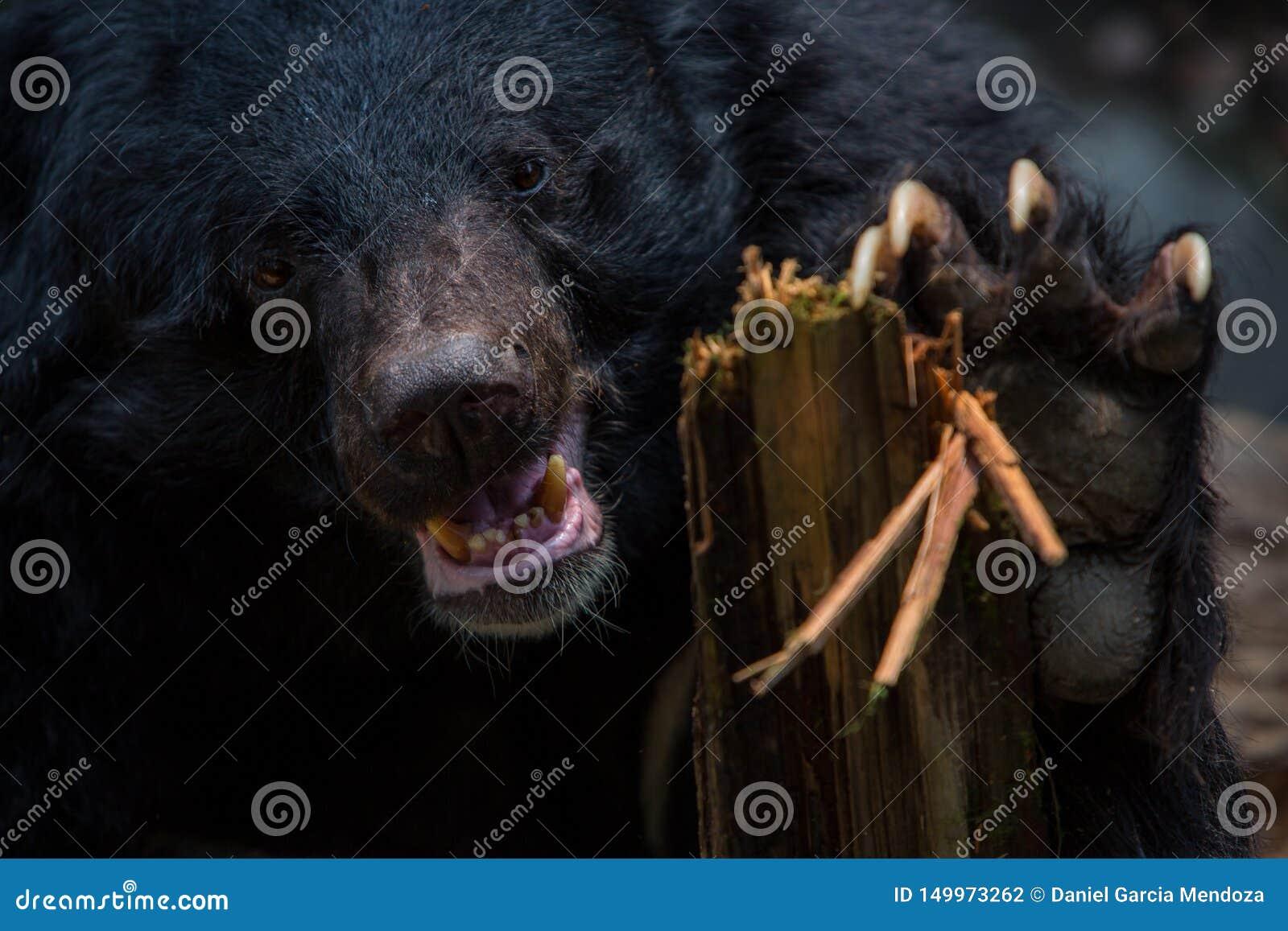 Zbliżenie twarz dorosłego Formosa Czarny niedźwiedź trzyma drewnianego kij z pazurami