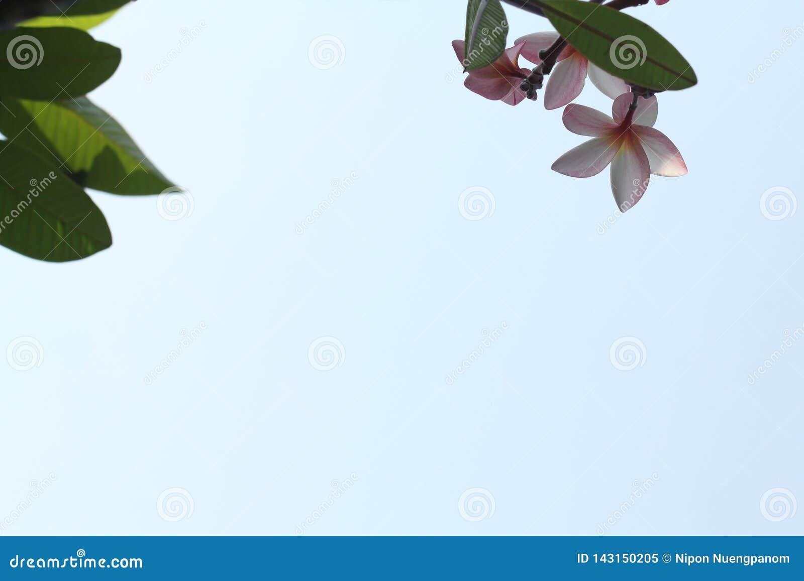 Zbliżenie widok menchie kwitnie i liście na niebieskiego nieba tle