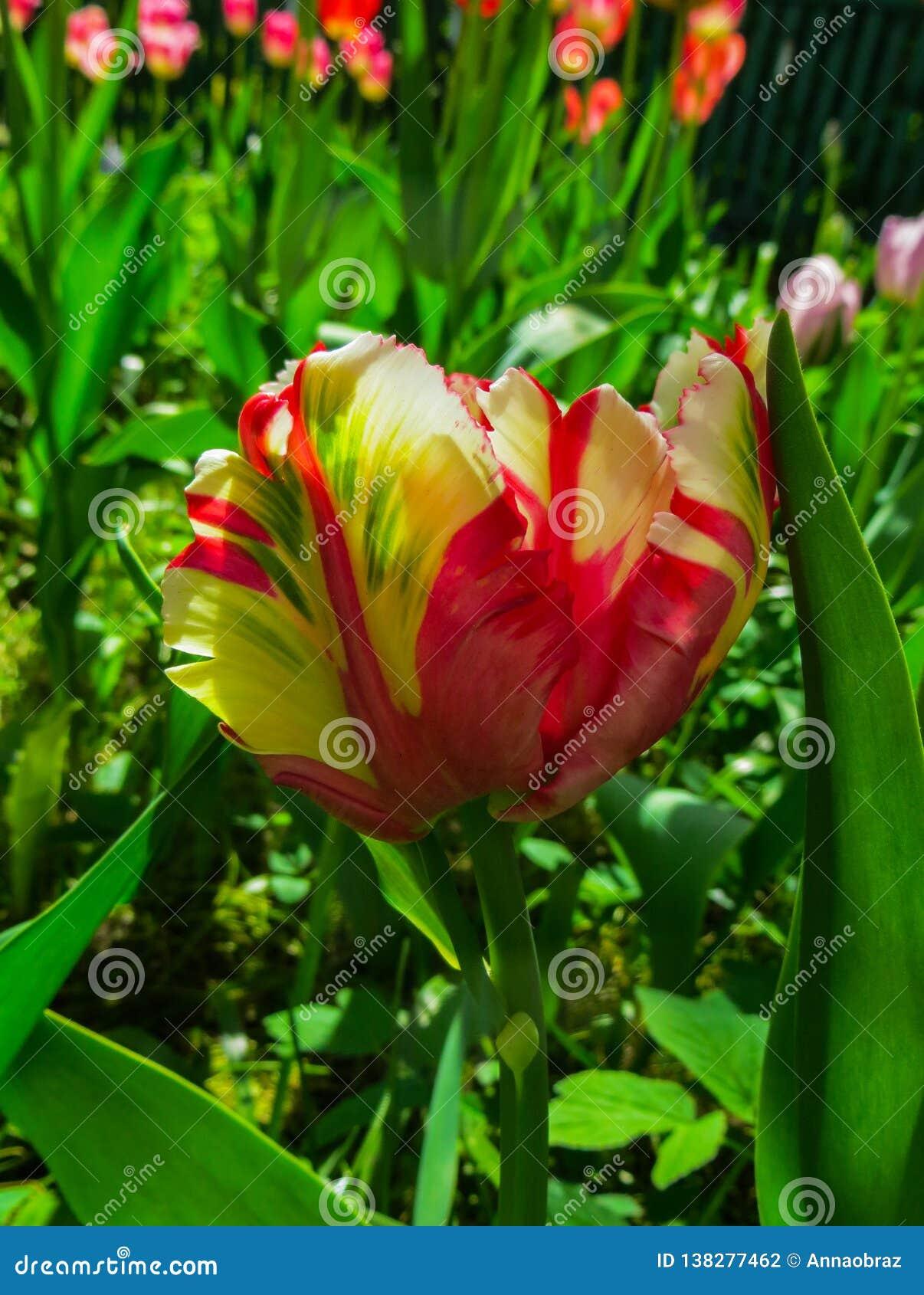 Zbliżenie zamknięty pastel barwiący papuzi tulipan