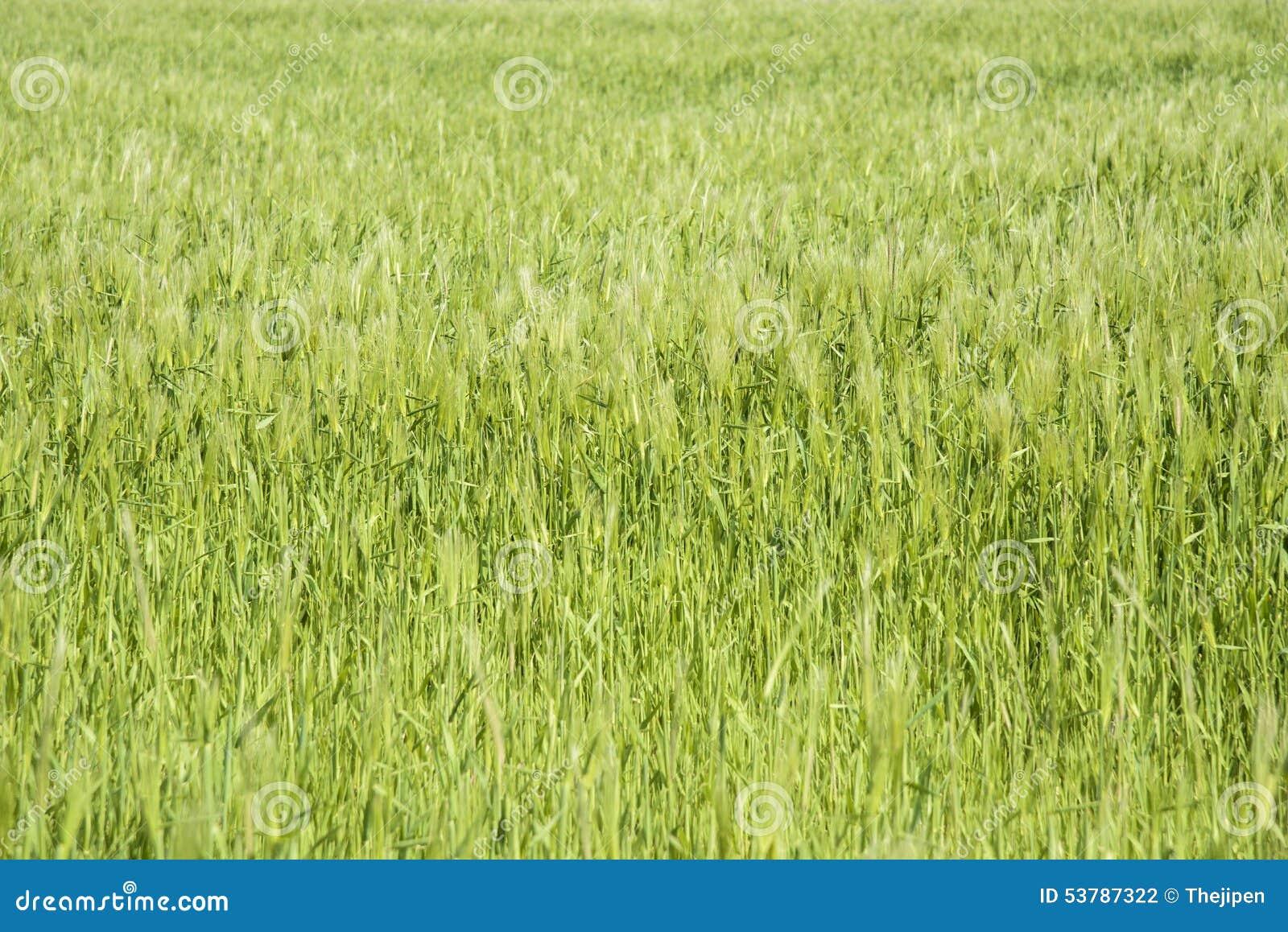 Zbliżenie zielony jęczmienia pole