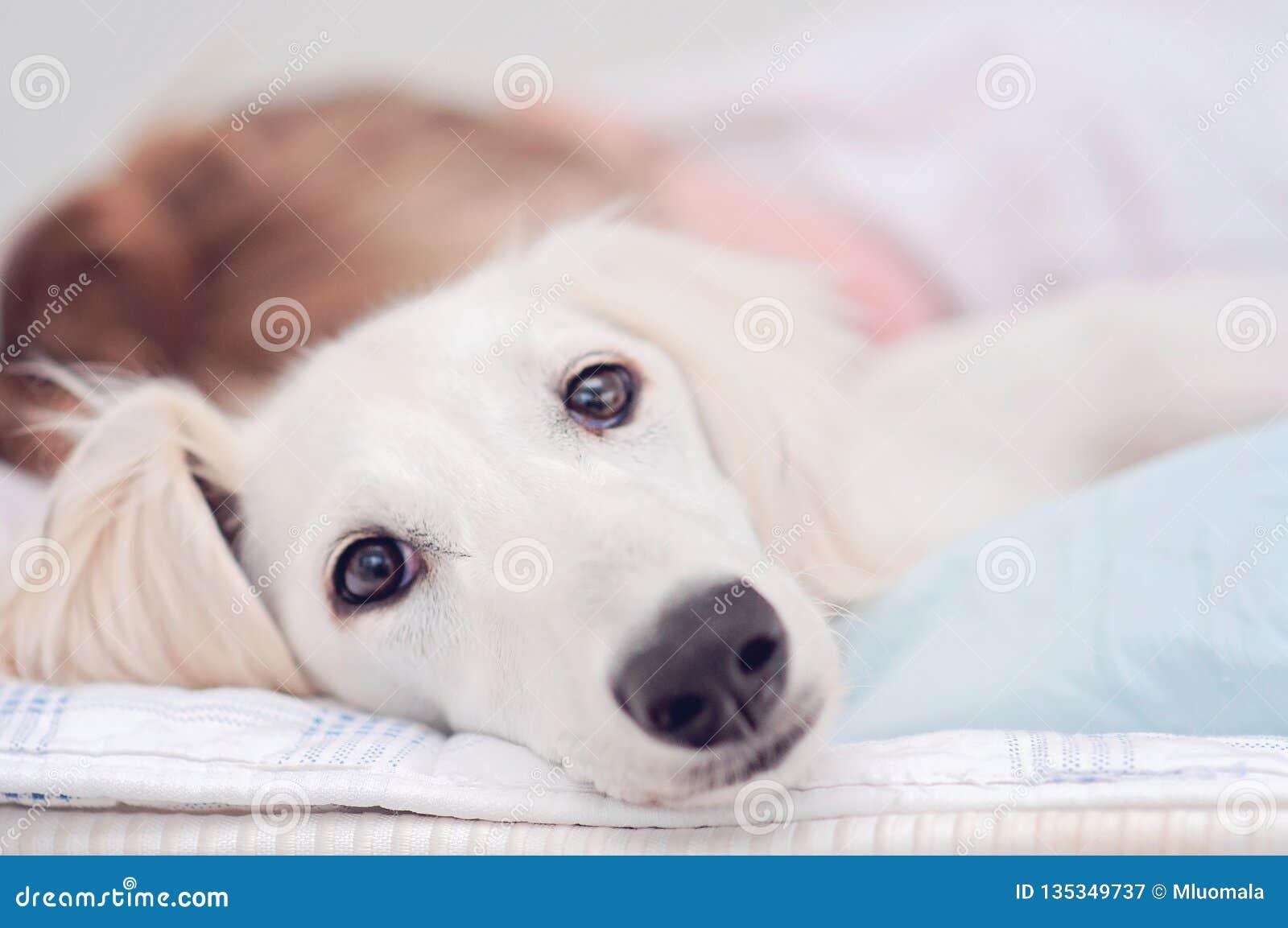 Zbliżenie zrelaksowany pies, małego ślicznego białego saluki szczeniaka perska charcica wraz z młodą dziewczyną która posiada zwi