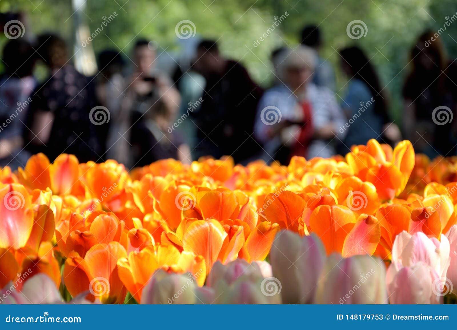 Zbli?enie gazon z jaskrawym ?wiat?em i czerwieni? - r??owi tulipany, ludzie i ogl?da one od i strzela za