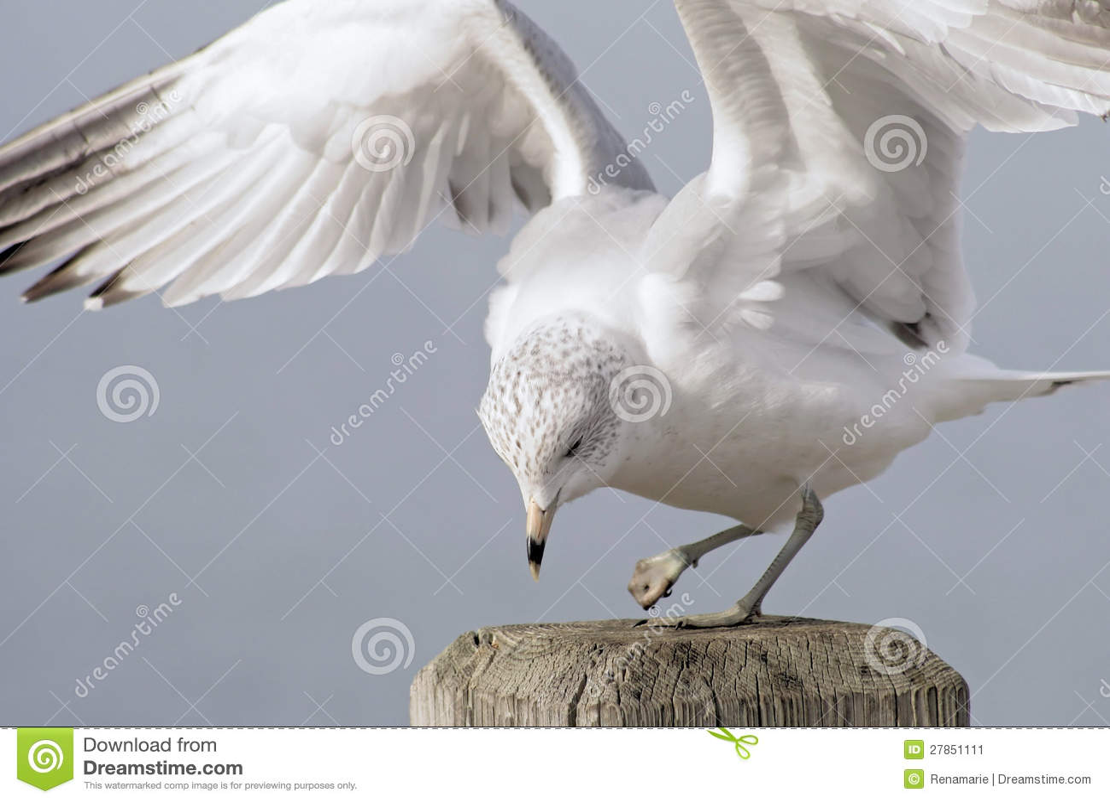 Zdradzony Seagull