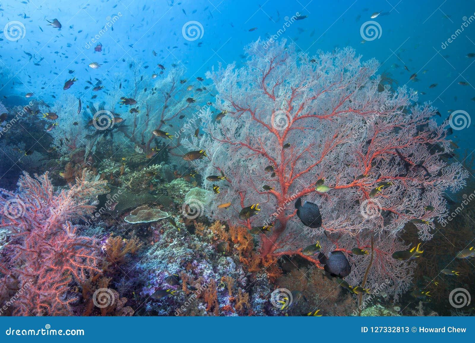 Zdrowa rafa koralowa w sercu koralowy trójbok