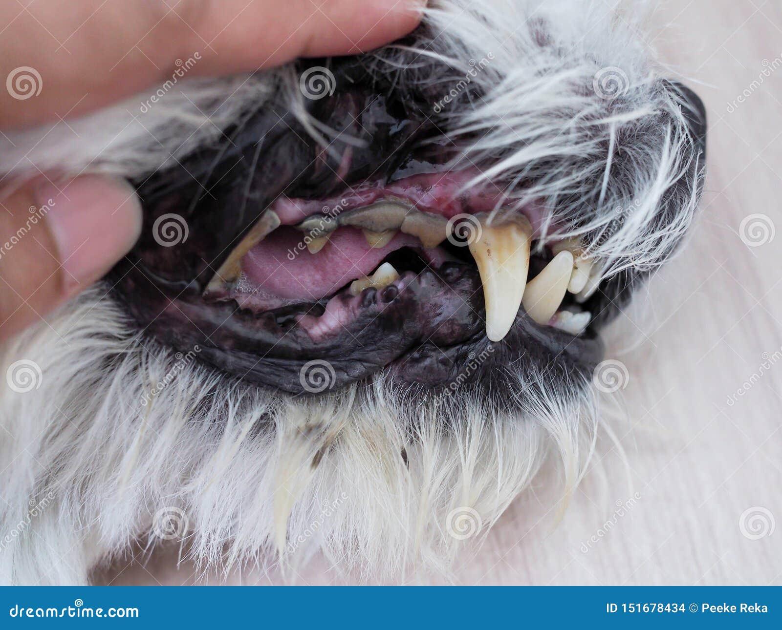 Zdrowie z usta Toothache, zębu gnicie i wapień plamy psi,
