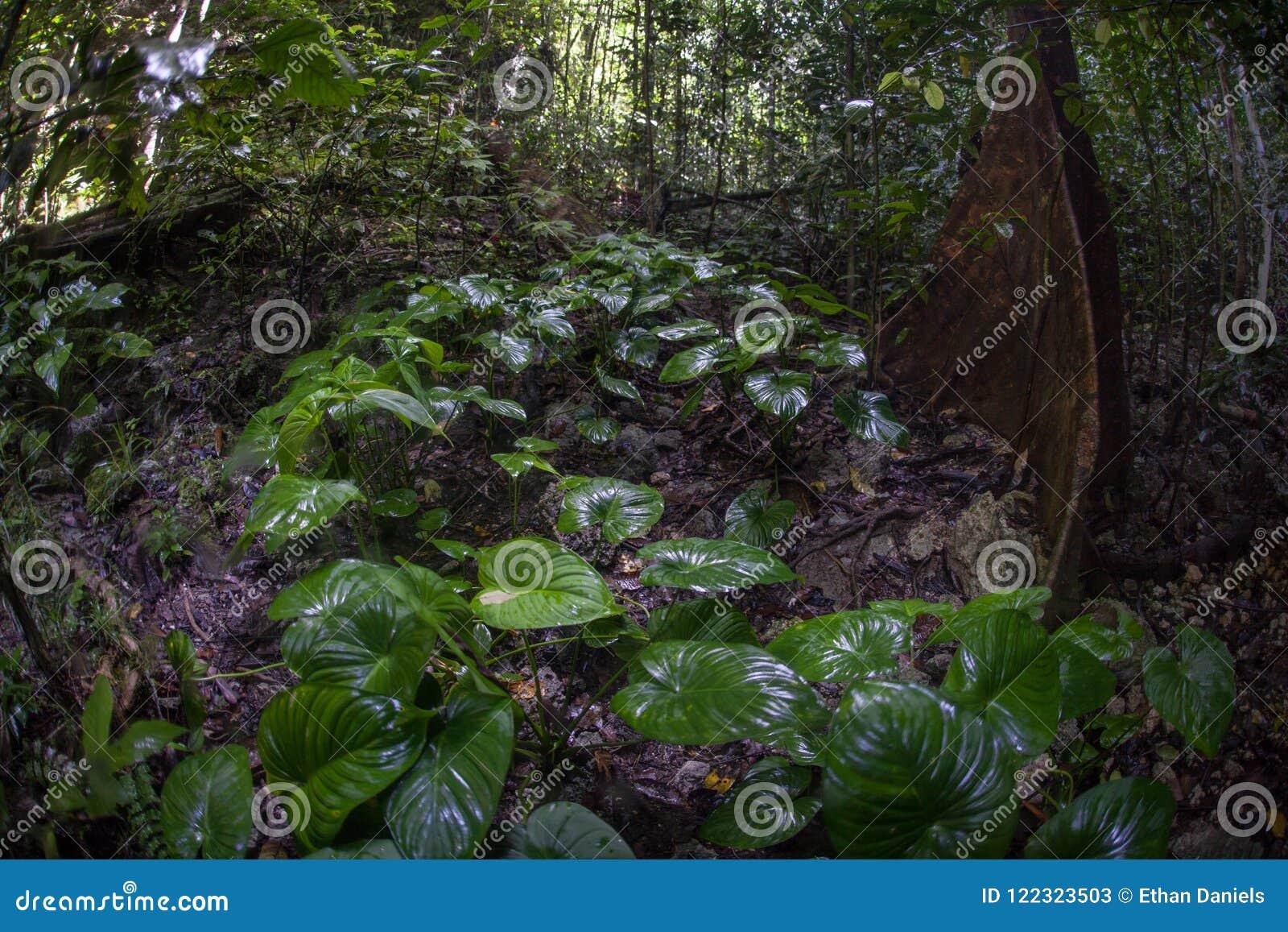 Zdrowy tropikalny las deszczowy w Raja Ampat, Indonezja