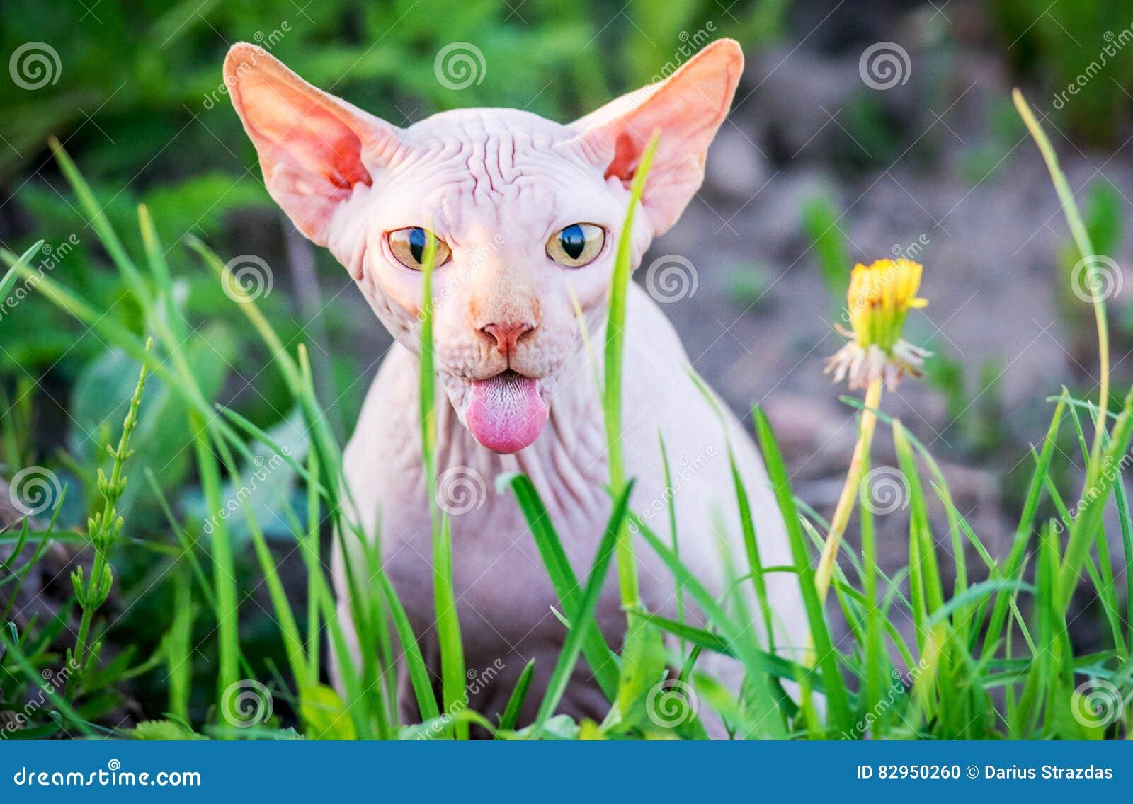 Zdziwiony Kot Pokazuje Jęzor Zdjęcie Stock Obraz Złożonej Z Sfinks