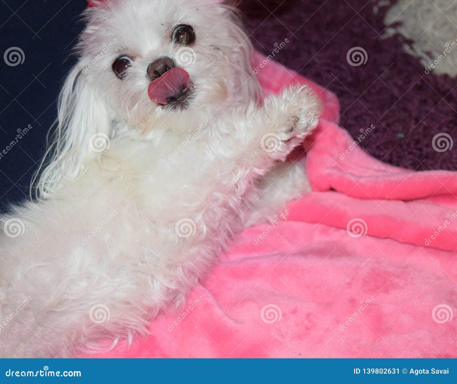 Zdziwiony psi spojrzenie pokazuje jęzor Biały maltese szczeniak na różowej koc