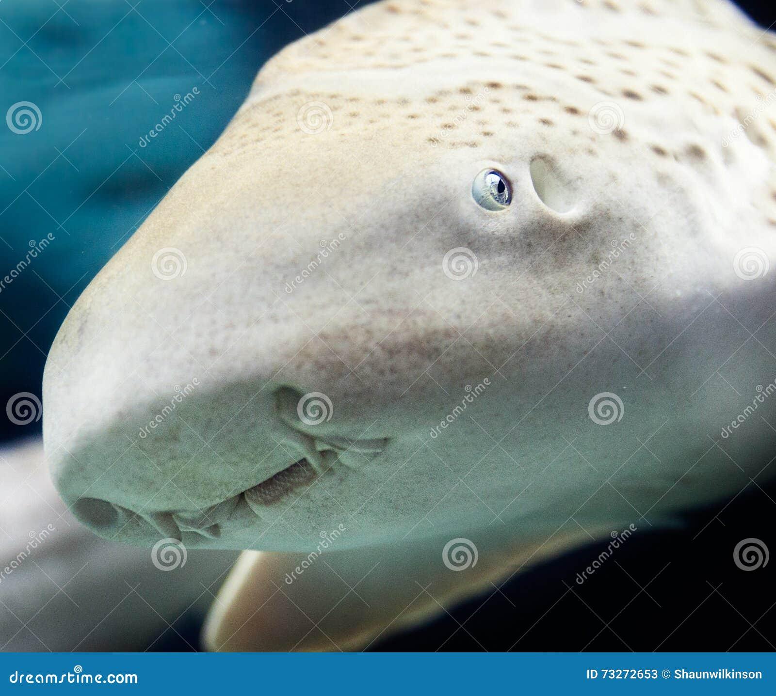 Zebera-Haifisch