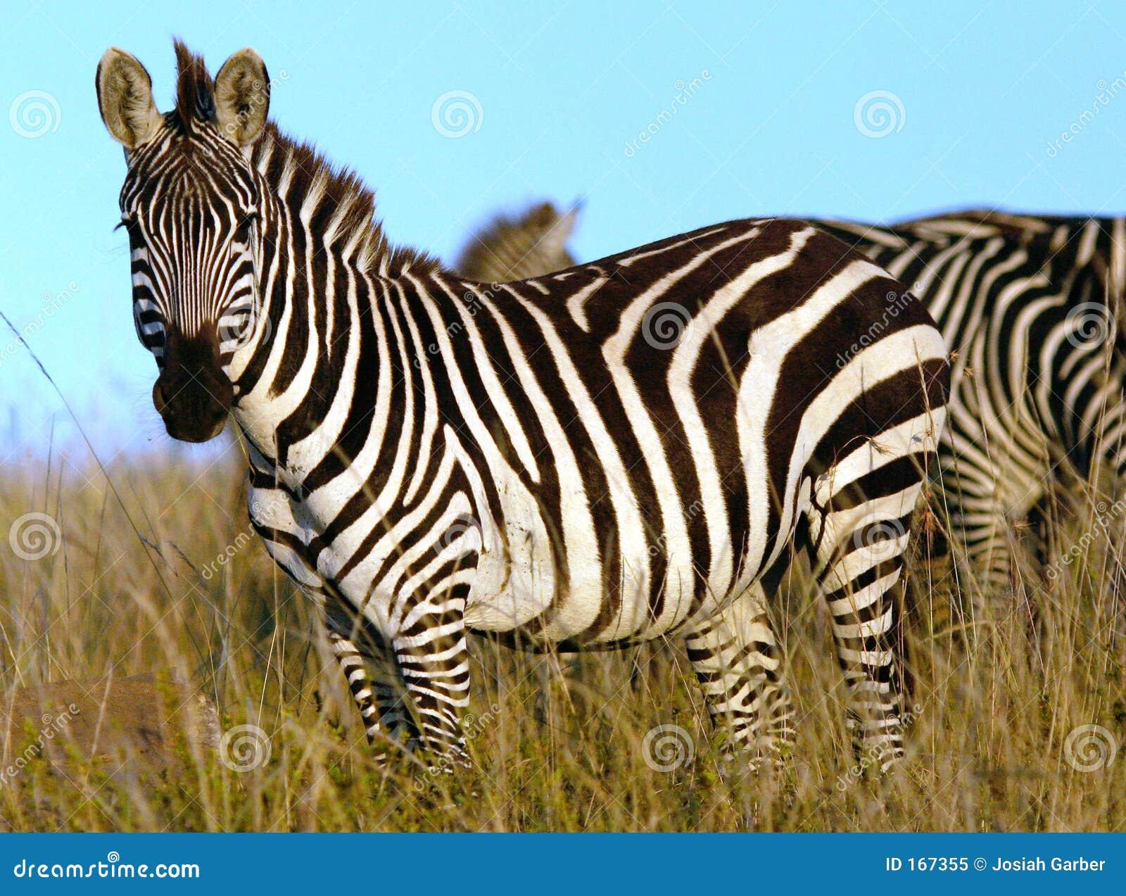 Zebra In Africa Royalty Free Stock Photo - Image: 167355