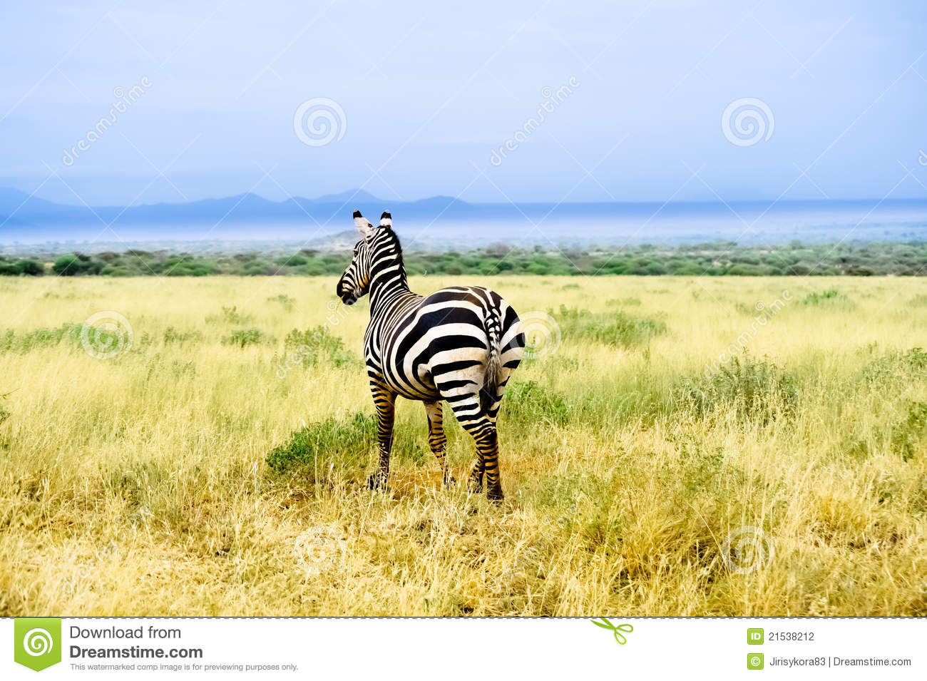 zebra in african savannah looks into distance stock. Black Bedroom Furniture Sets. Home Design Ideas