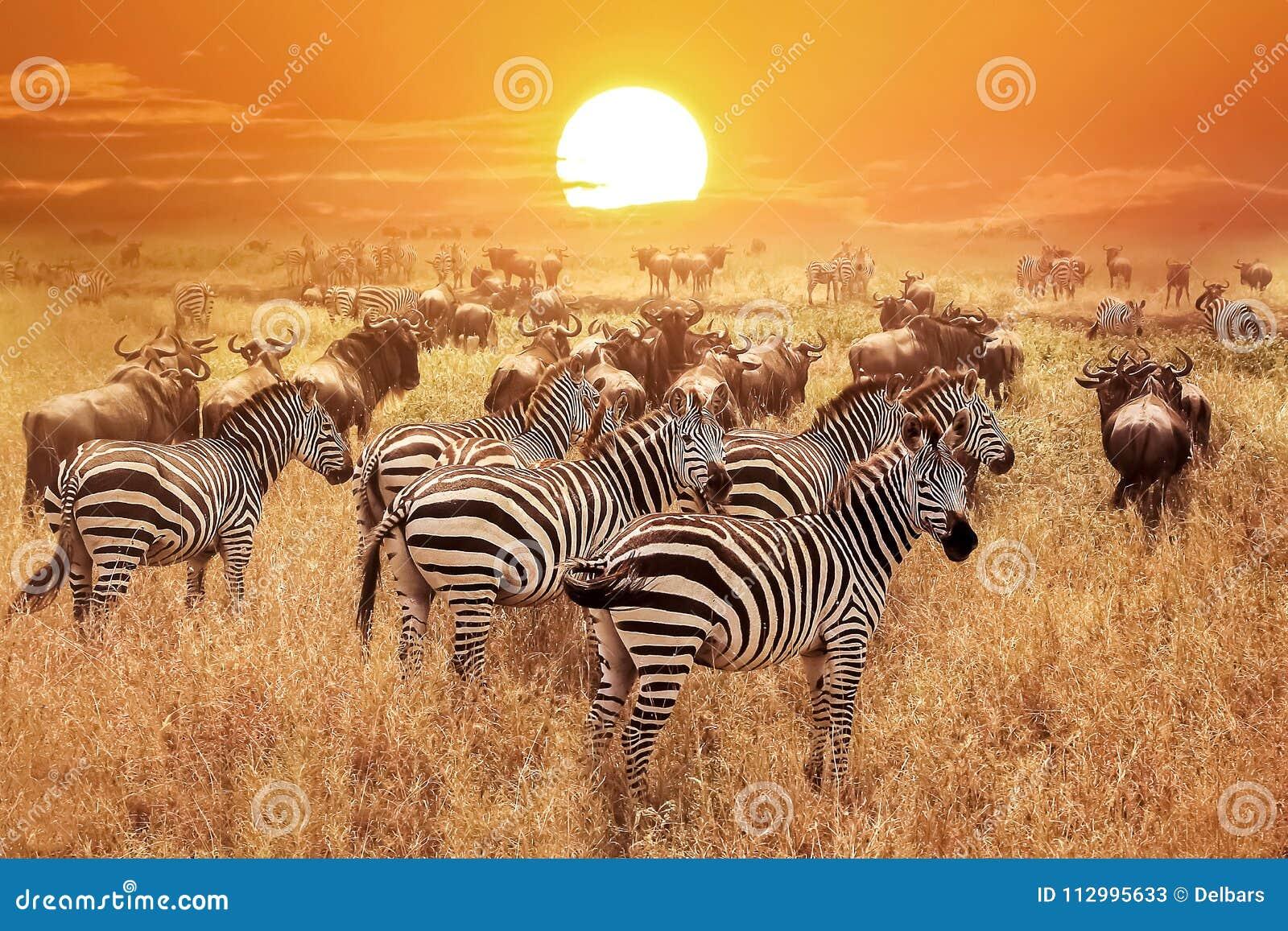 Zebra bei Sonnenuntergang im Nationalpark Serengeti afrika tanzania