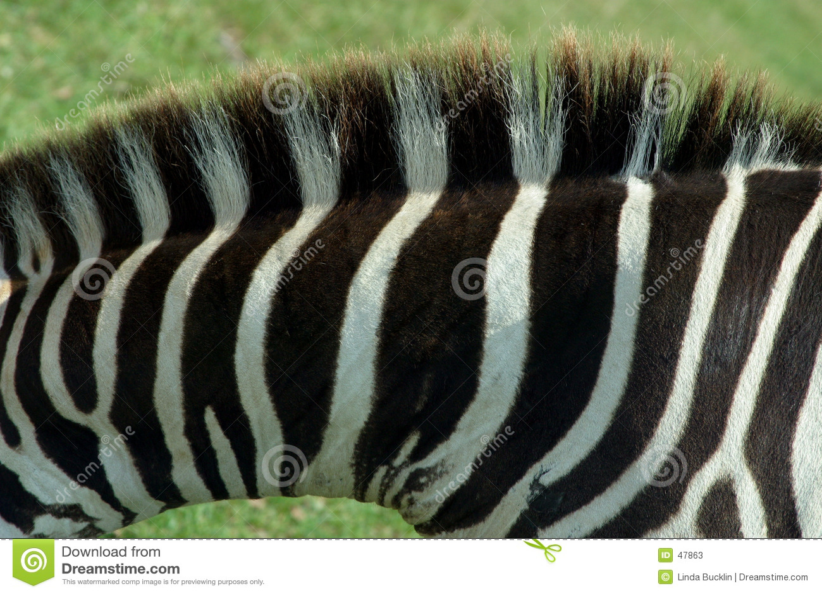Zebra-Beschaffenheit 1