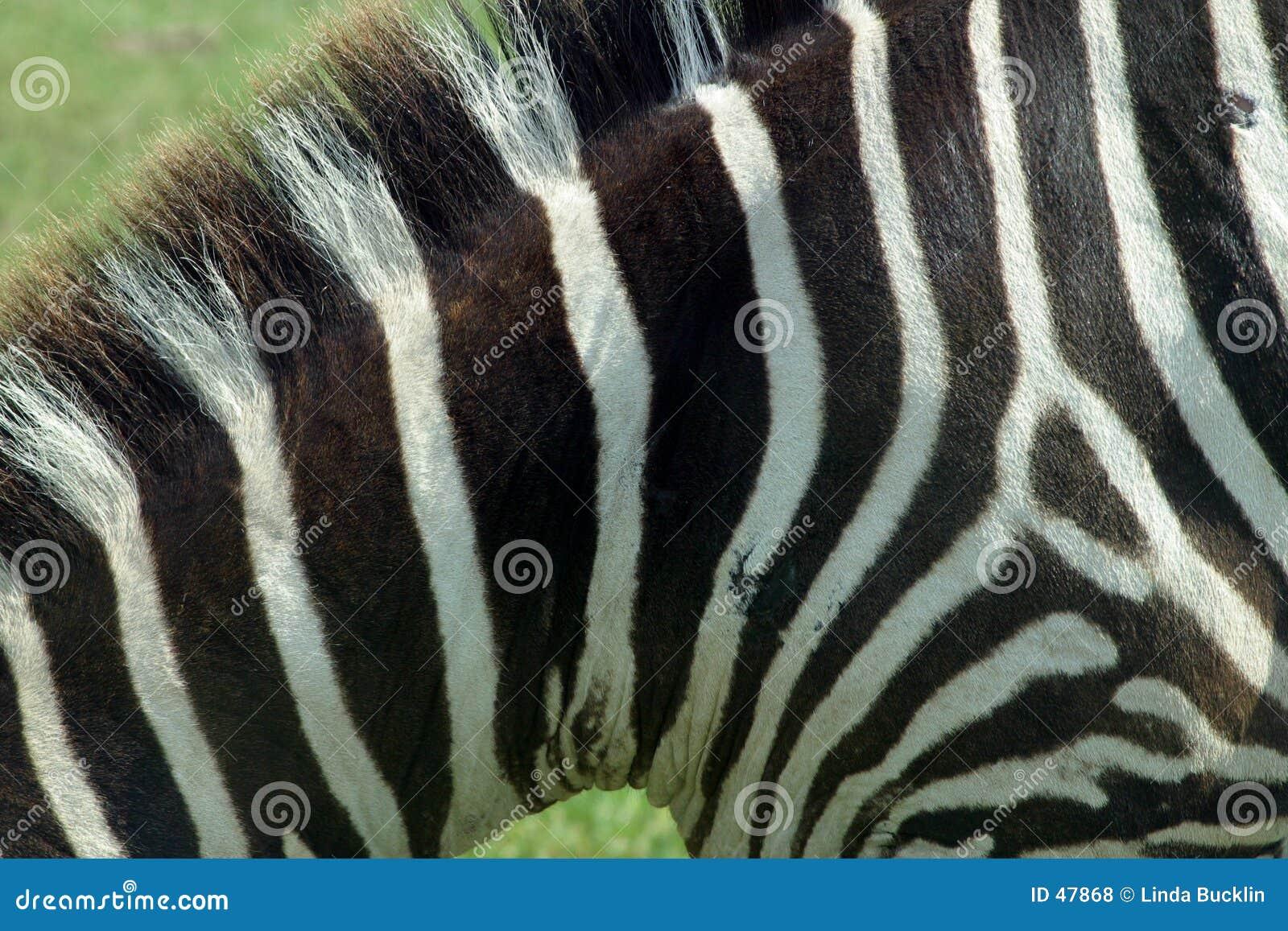 Zebra-Beschaffenheit 3
