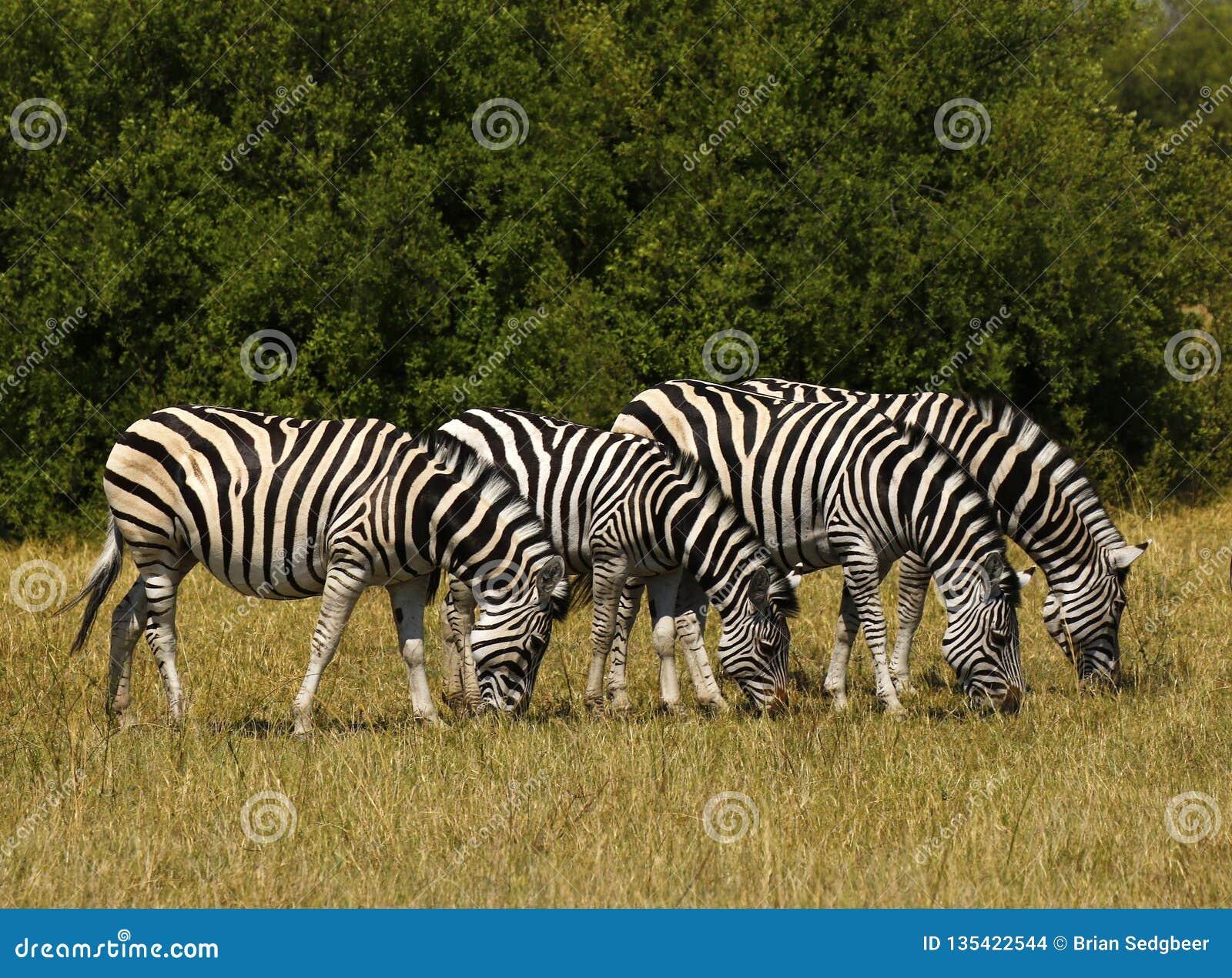 Zebra bonita de Waterbucks e de Burchell nas planícies africanas