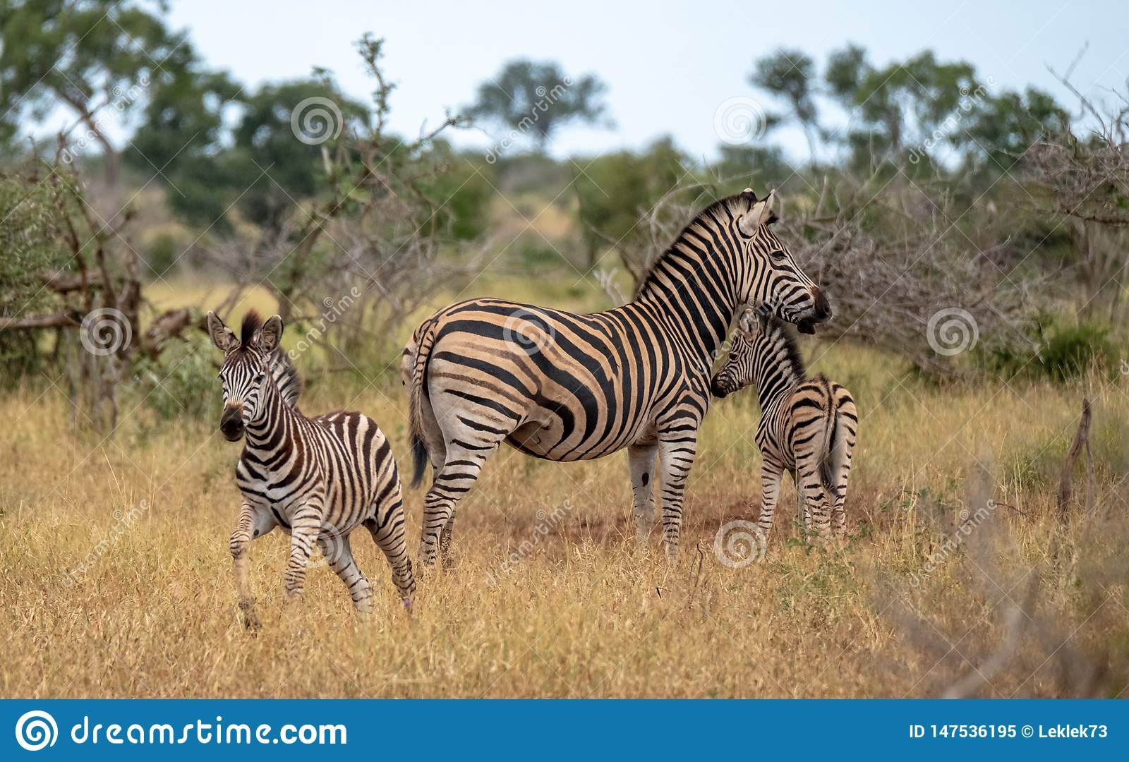 Zebra and calves photographed in the bush at Kruger National Park, South Africa