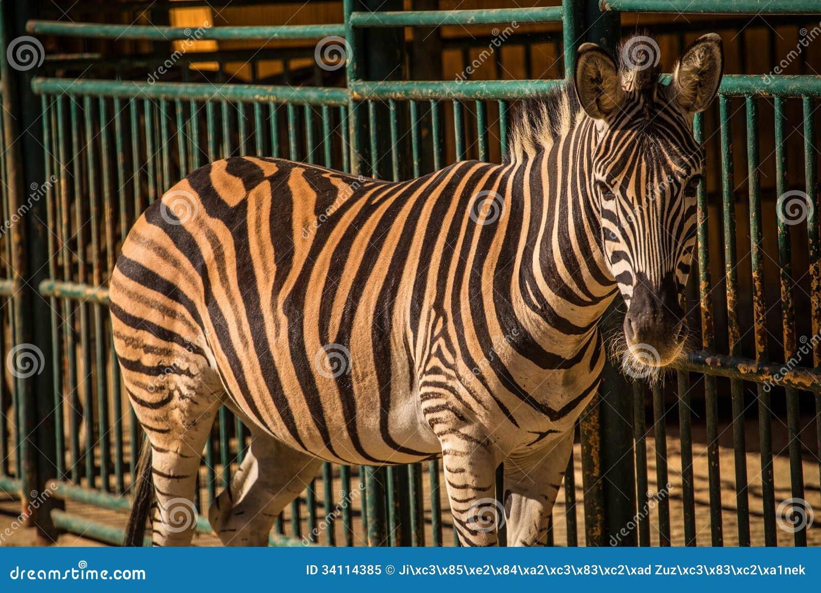 Zebra in captivity