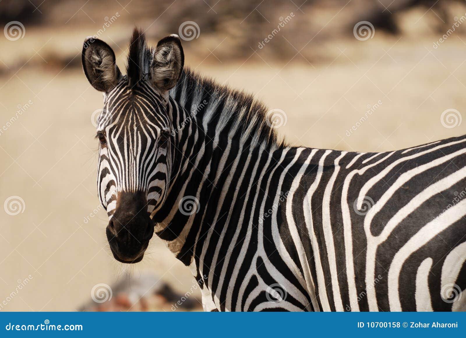 Zebra che osserva a sinistra