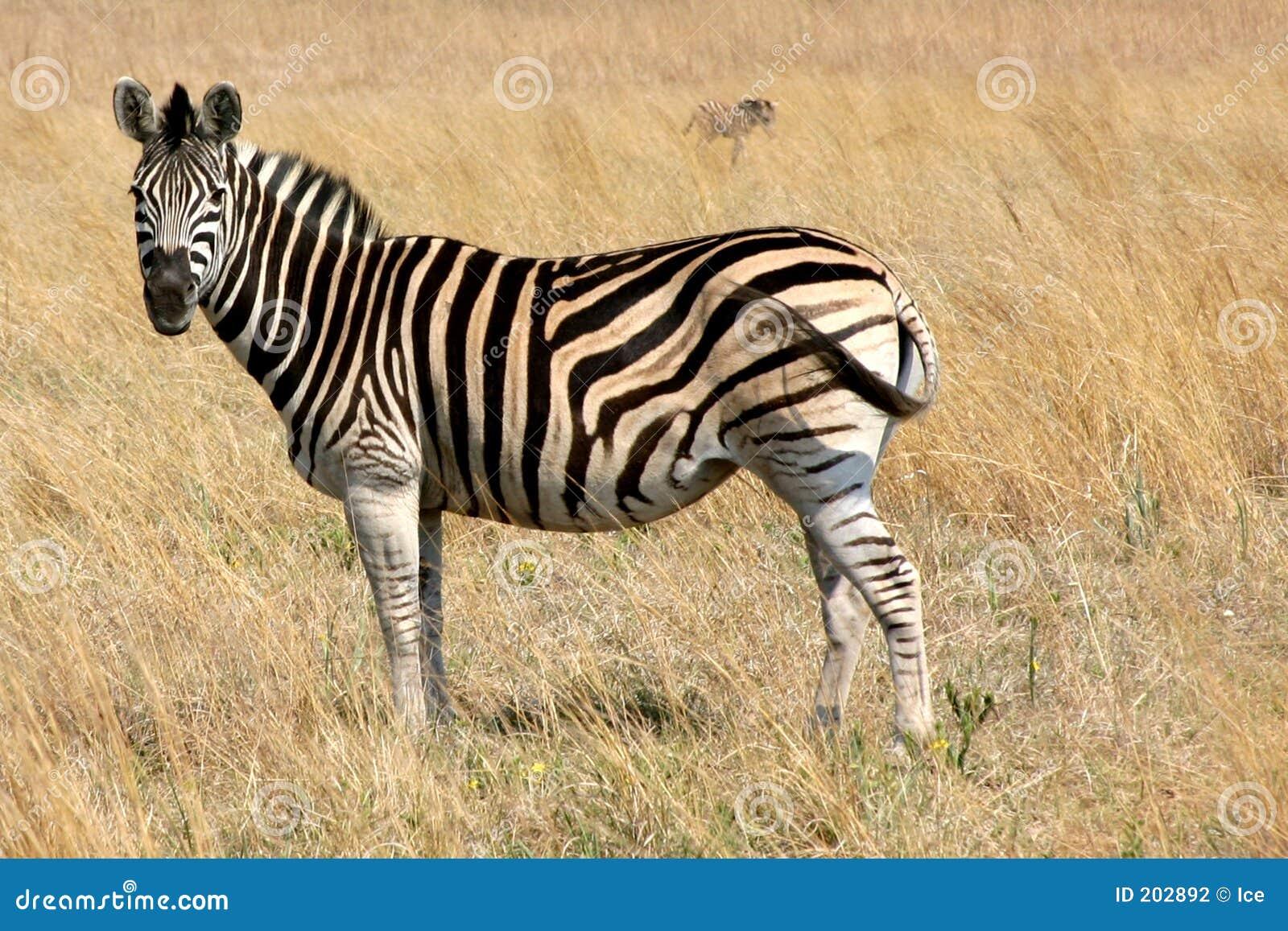 Zebra che pasce in un campo