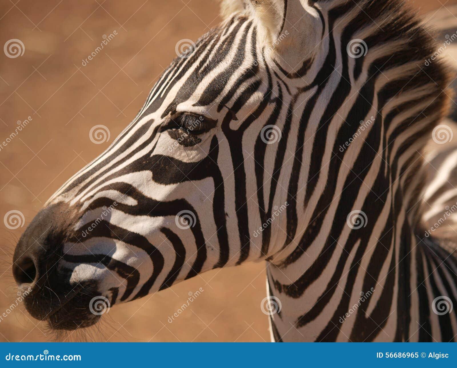 zebra close look stock photo image 56686965. Black Bedroom Furniture Sets. Home Design Ideas