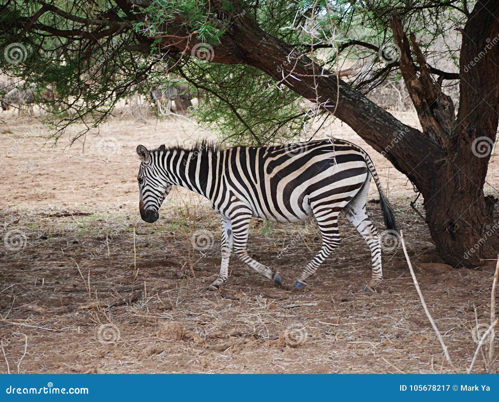 Zebra close-u on Tarangiri safari - Ngorongoro