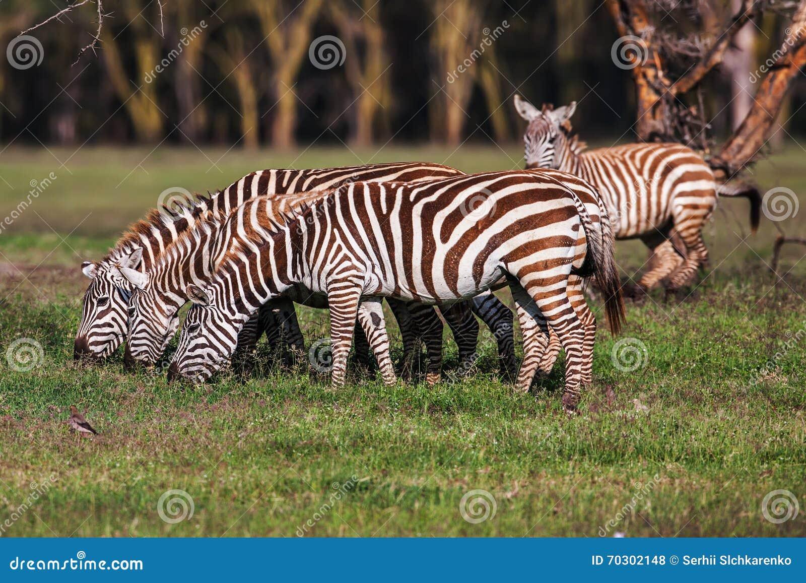 A zebra comia a grama como seu alimento nas pastagem marrons secas do savana