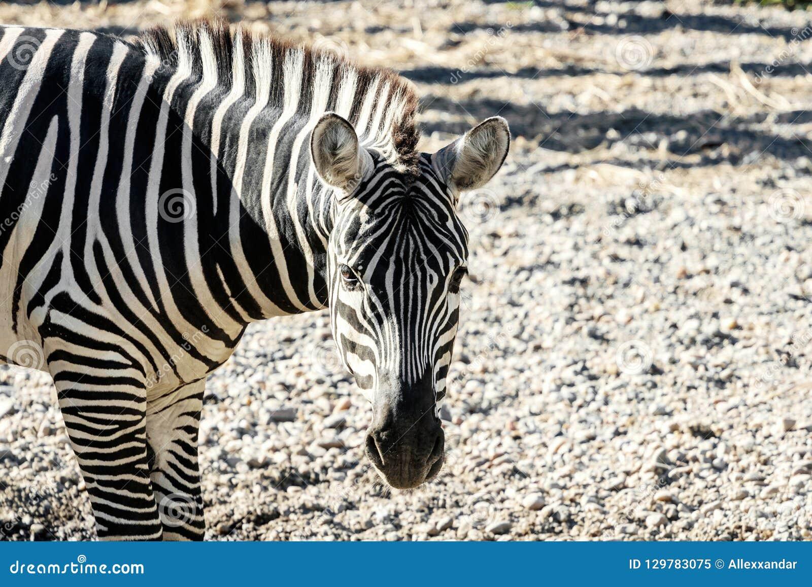 A zebra comum de Burchelli do Equus da zebra das planícies