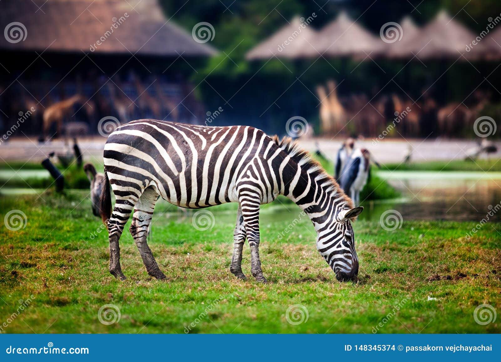 Zebra, das Gras im Zoo isst